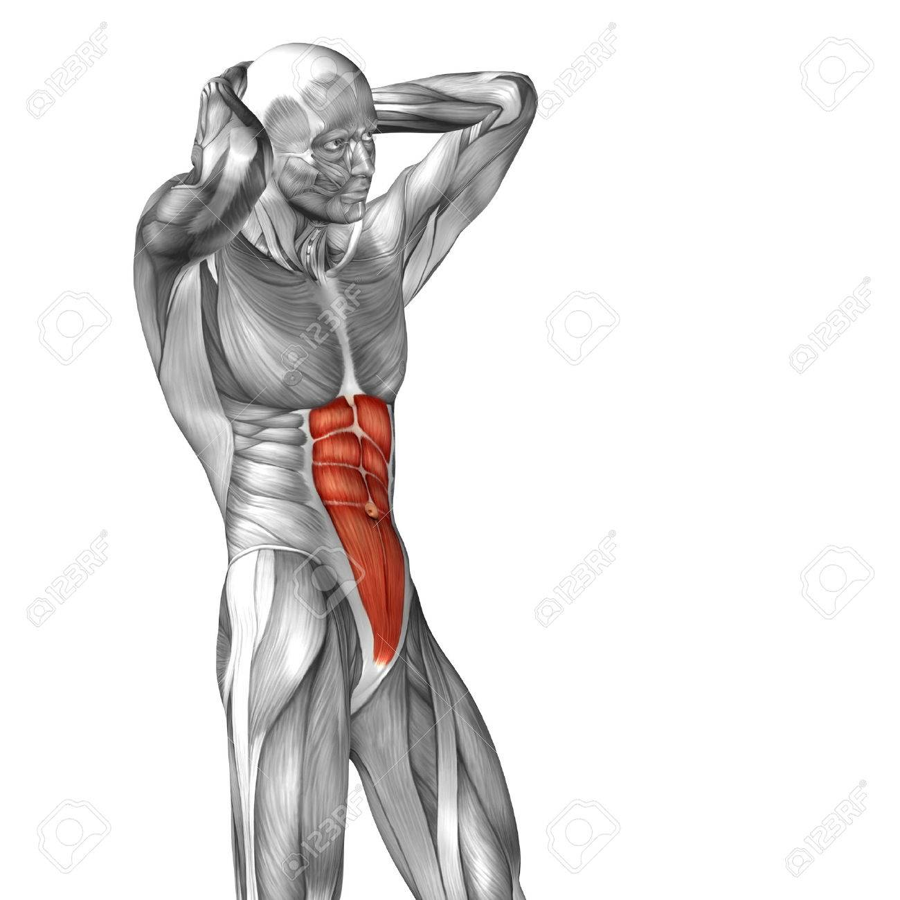 Conceptual 3d Chest Anatomy Muscle Isolated On White Background