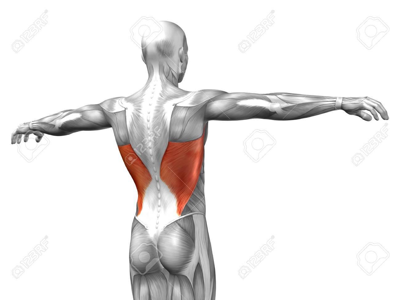 Beste Muskeln Zurück Galerie - Anatomie Ideen - finotti.info
