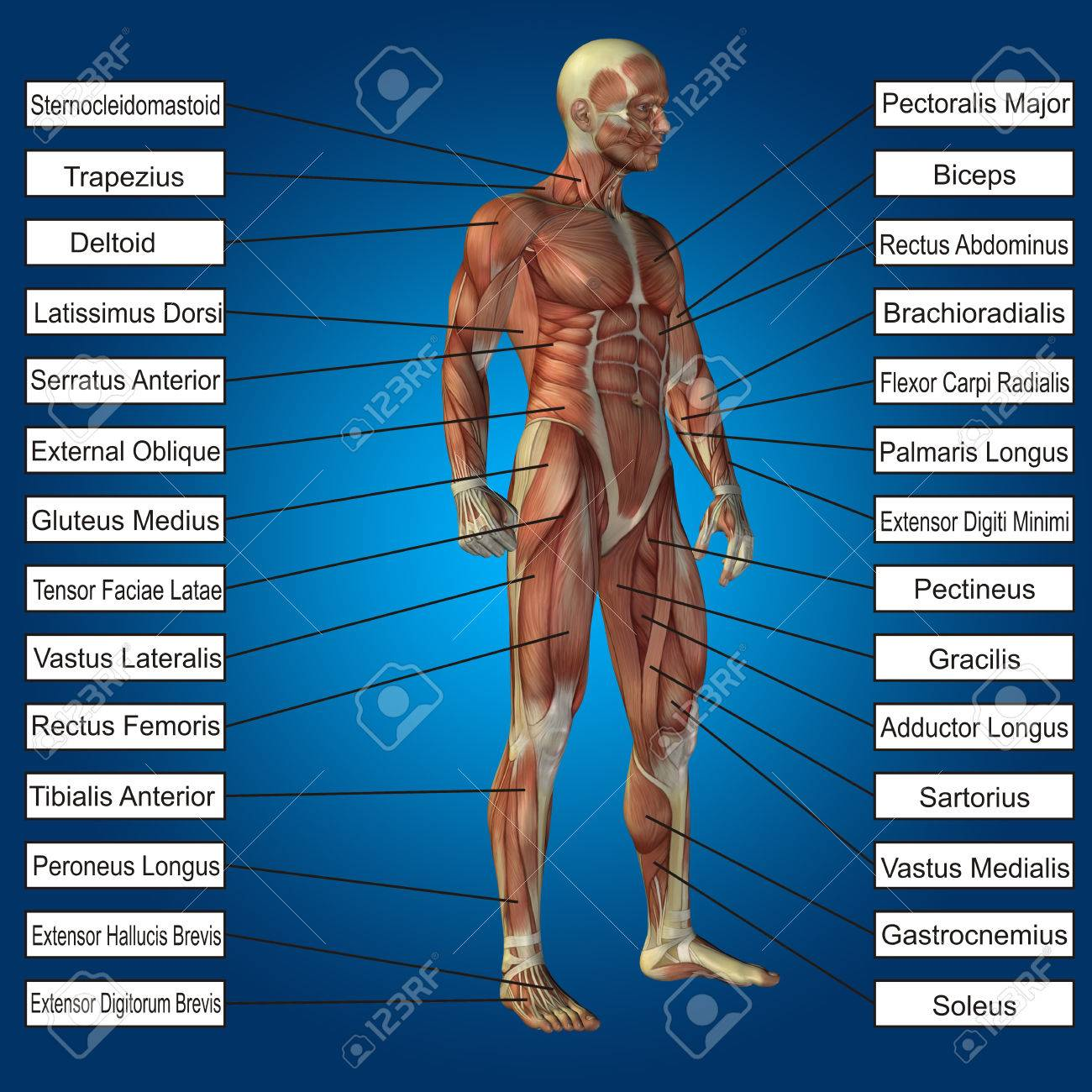 3D Menschliche Männliche Anatomie Mit Muskeln Und Text Auf Blauem ...