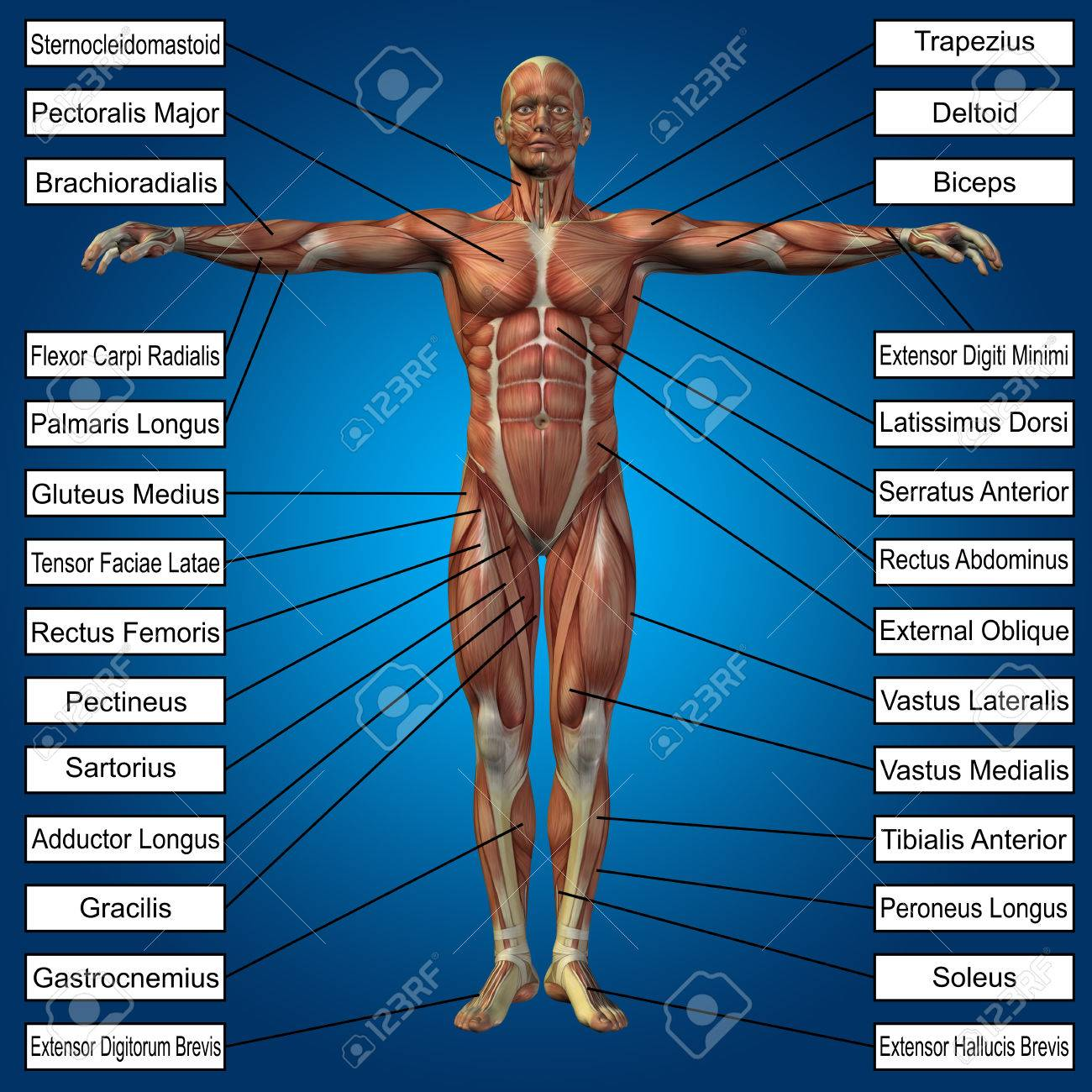 3D Human Male Anatomy With Muscles And Text On Blue Background Stock ...