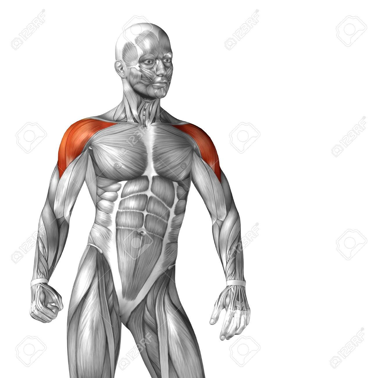 Conceptual 3D Chest Anatomy Muscle Isolated On White Background ...