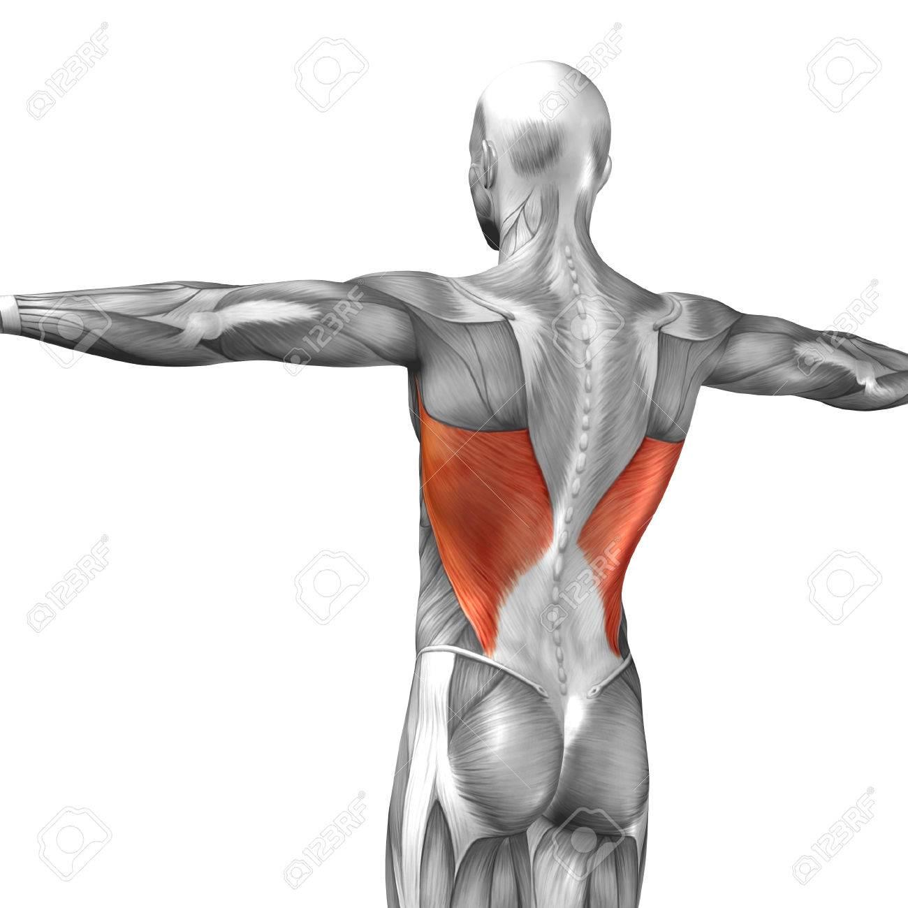 Conceptual 3D Espalda Muscular Anatomía Aislado En Fondo Blanco ...