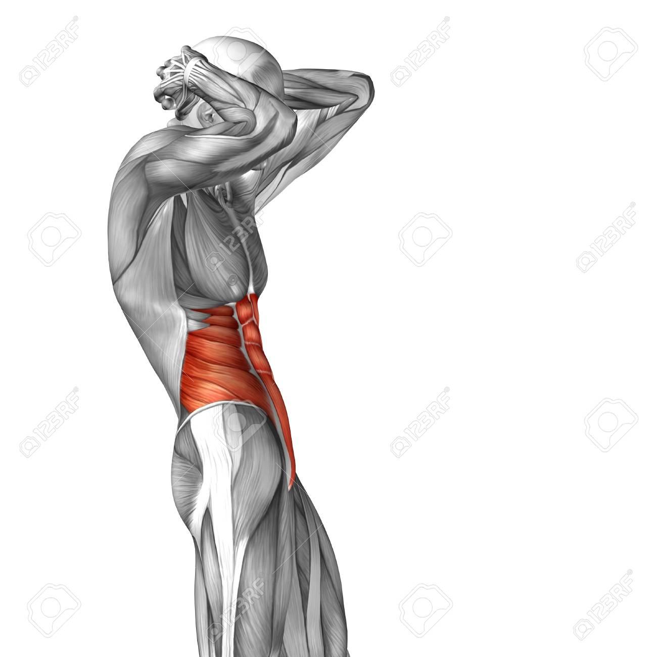 Conceptual Muscular Anatomía Pecho 3D Aislada En El Fondo Blanco ...