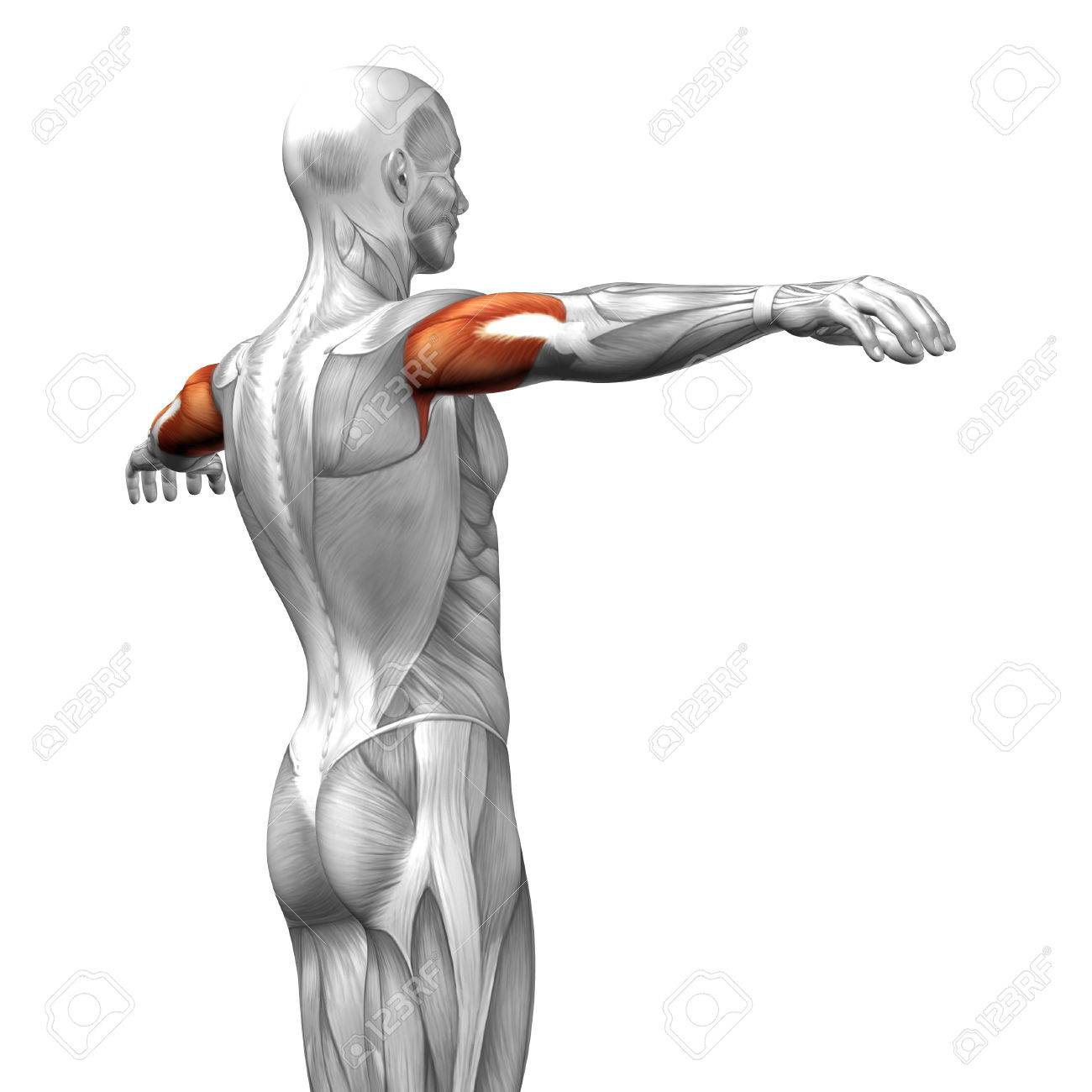 Conceptual 3D Triceps Anatomy Muscle Isolated On White Background ...