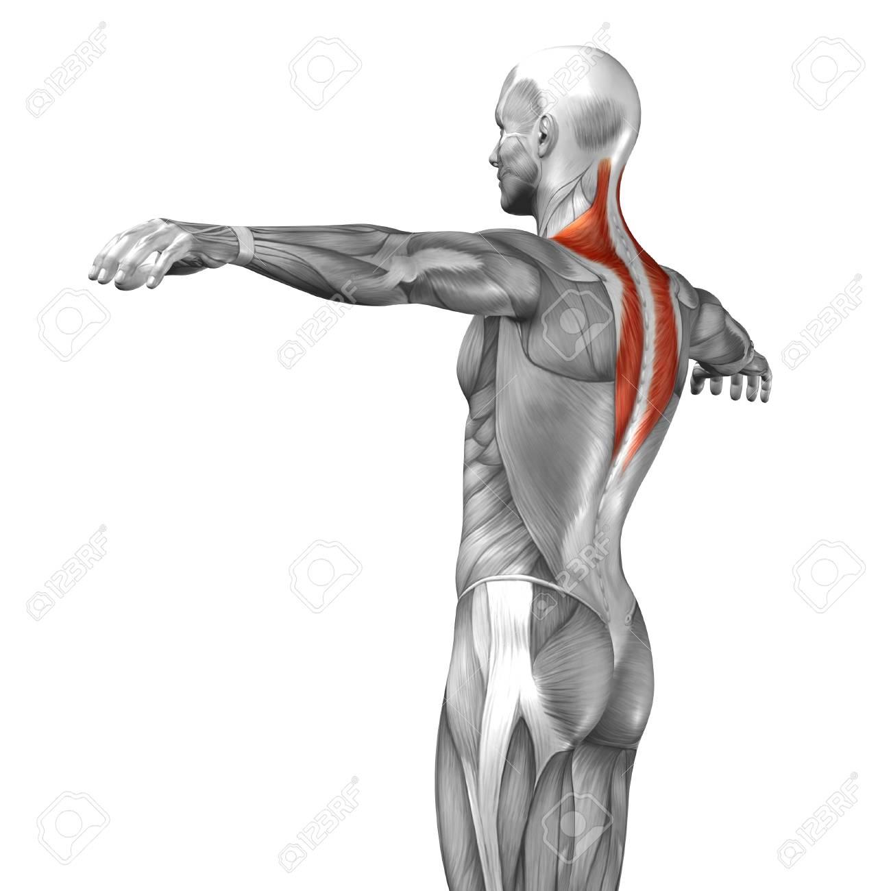 Conceptual 3D Zurück Anatomie Muskel Isoliert Auf Weißem Hintergrund ...