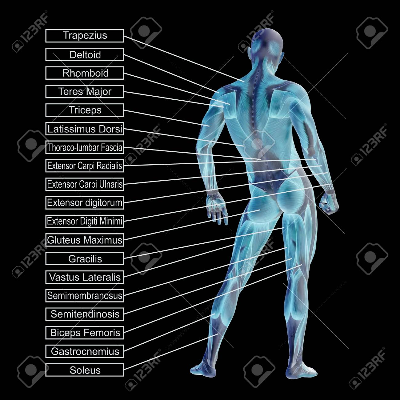 3D Human Male Anatomy With Muscles And Text Isolated On Black ...