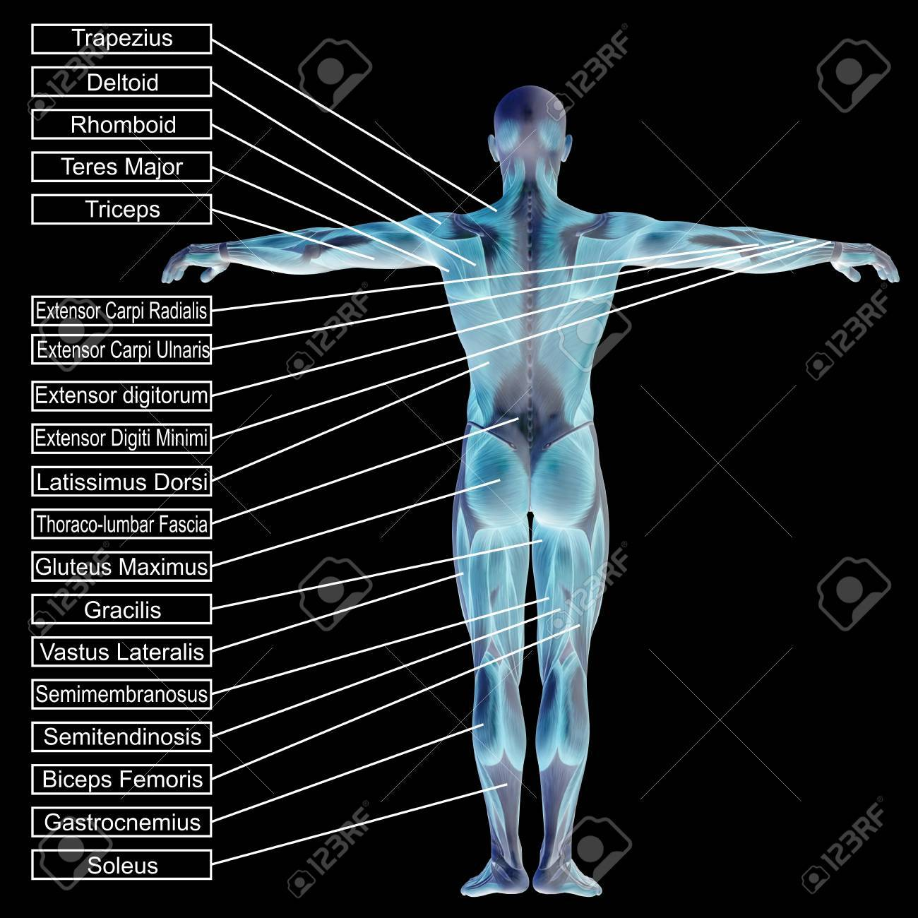 3d Human Male Anatomy With Muscles And Text Isolated On Black