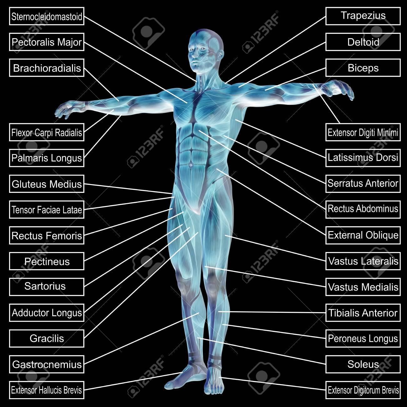 Fantastisch Männliche Muskeln Diagramm Fotos - Menschliche Anatomie ...