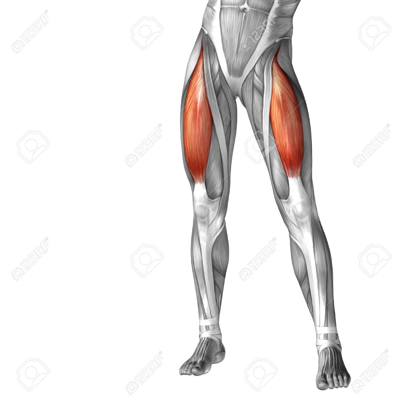 Funky Leg Muscles Anatomy Frieze - Human Anatomy Images ...