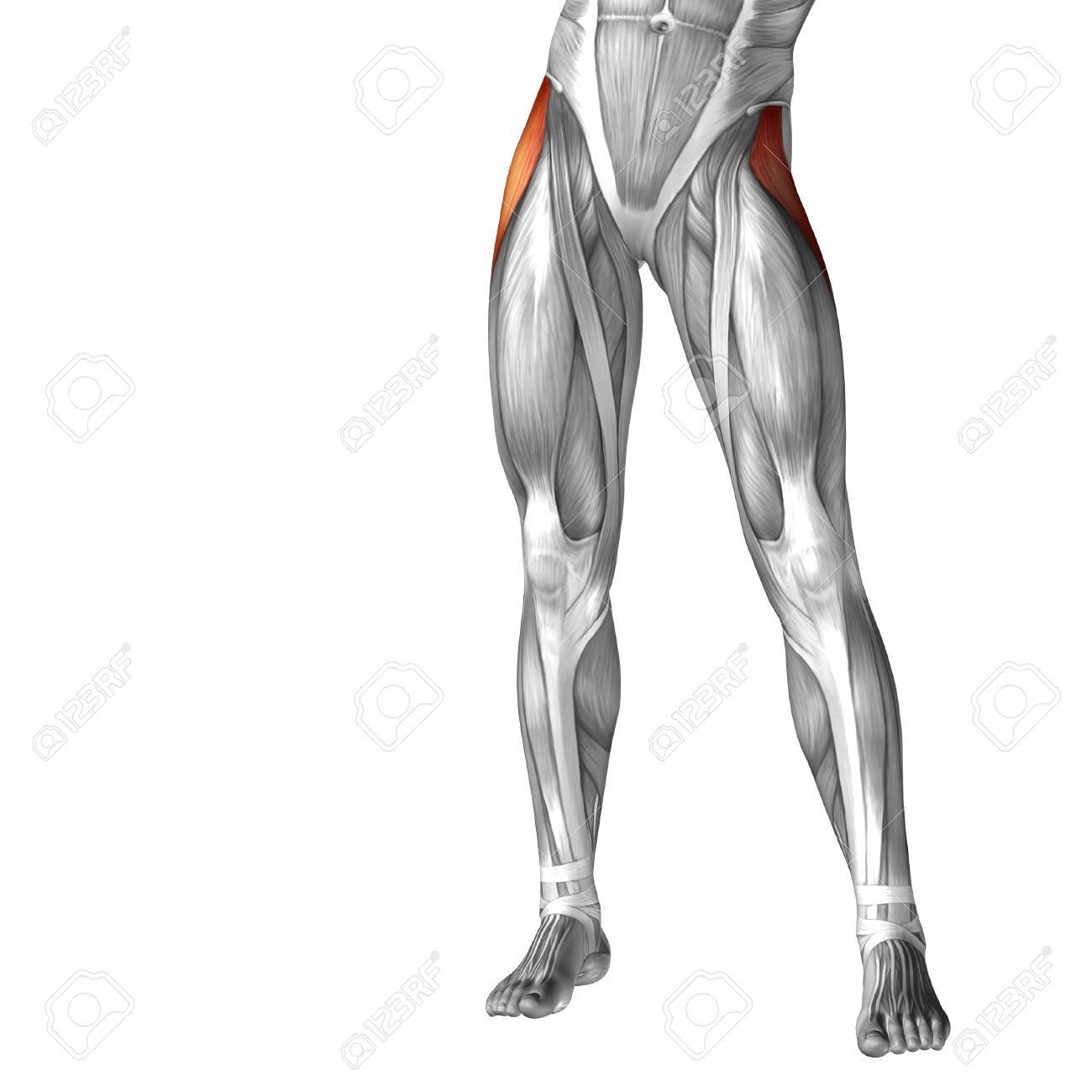 Conceptual 3d Human Front Upper Leg Muscle Anatomy Isolated On