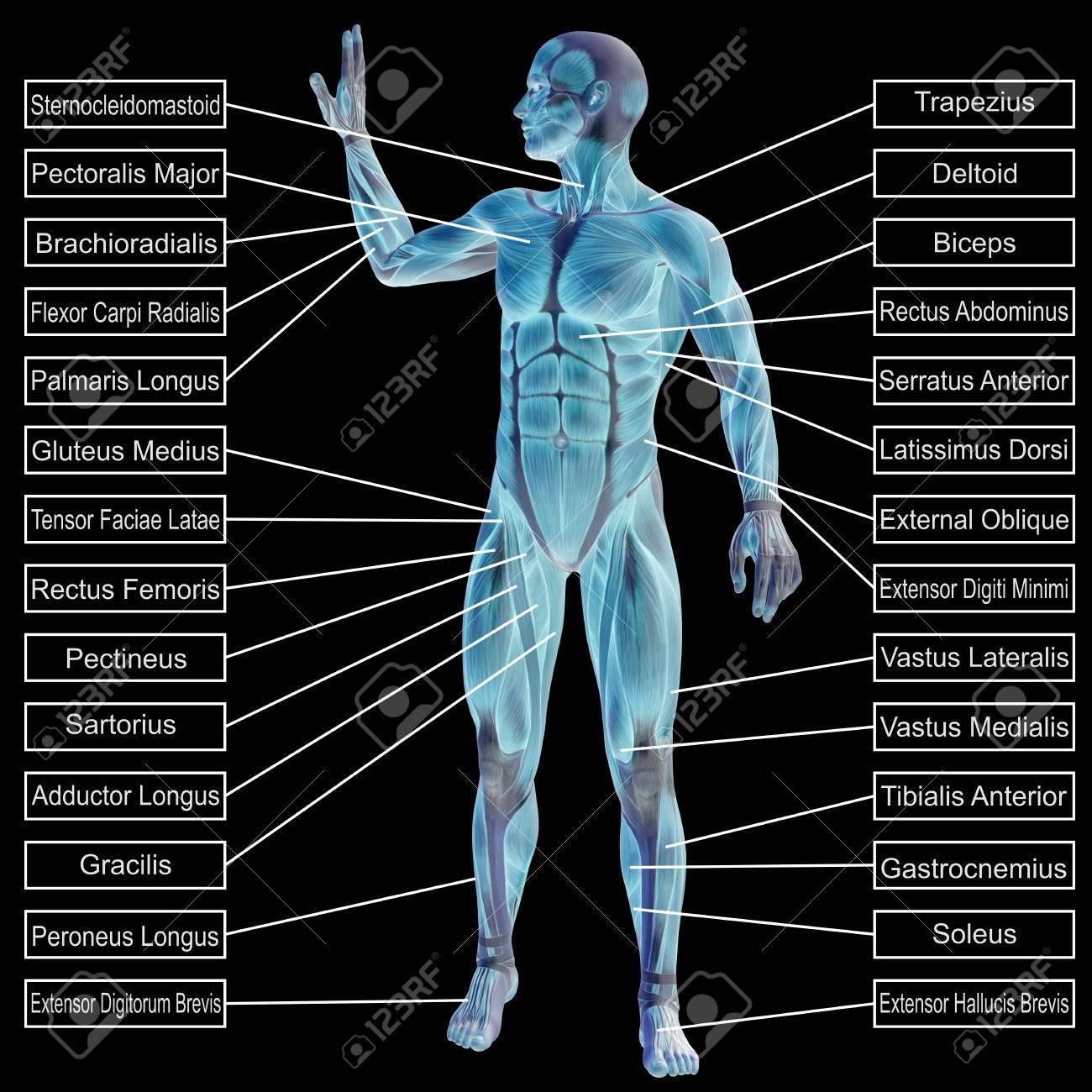 Moderno Músculos Anatomía Gorila Friso - Anatomía de Las Imágenesdel ...