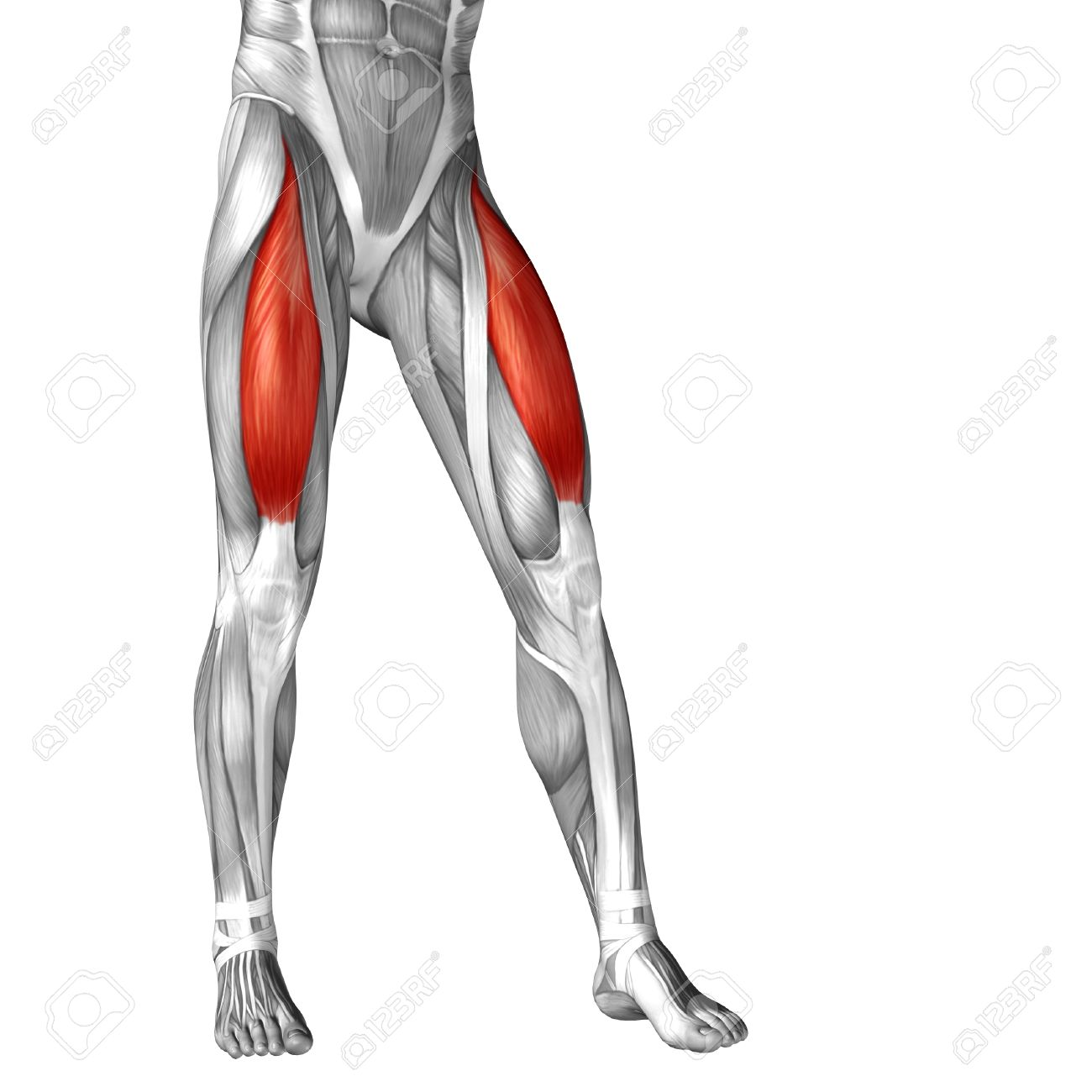 Upper Thigh Muscle Anatomy Choice Image - human body anatomy