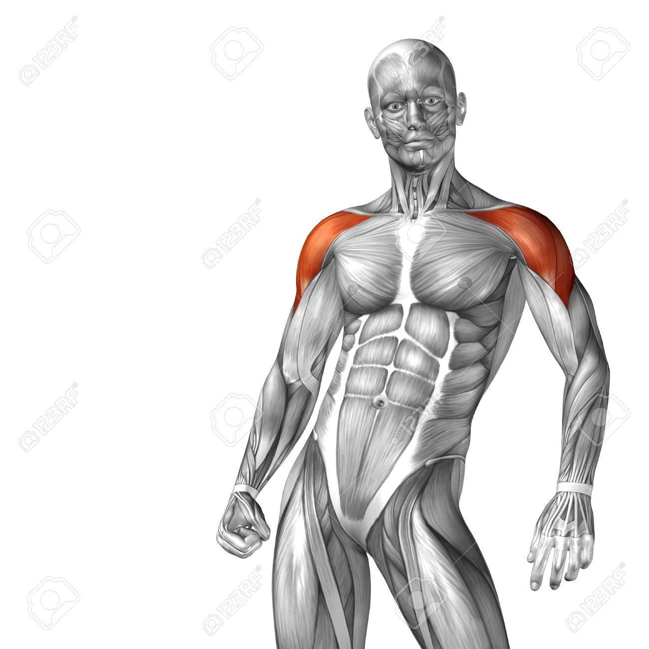 Conceptual 3D-Brust Anatomie Muskel Isoliert Auf Weißem Hintergrund ...