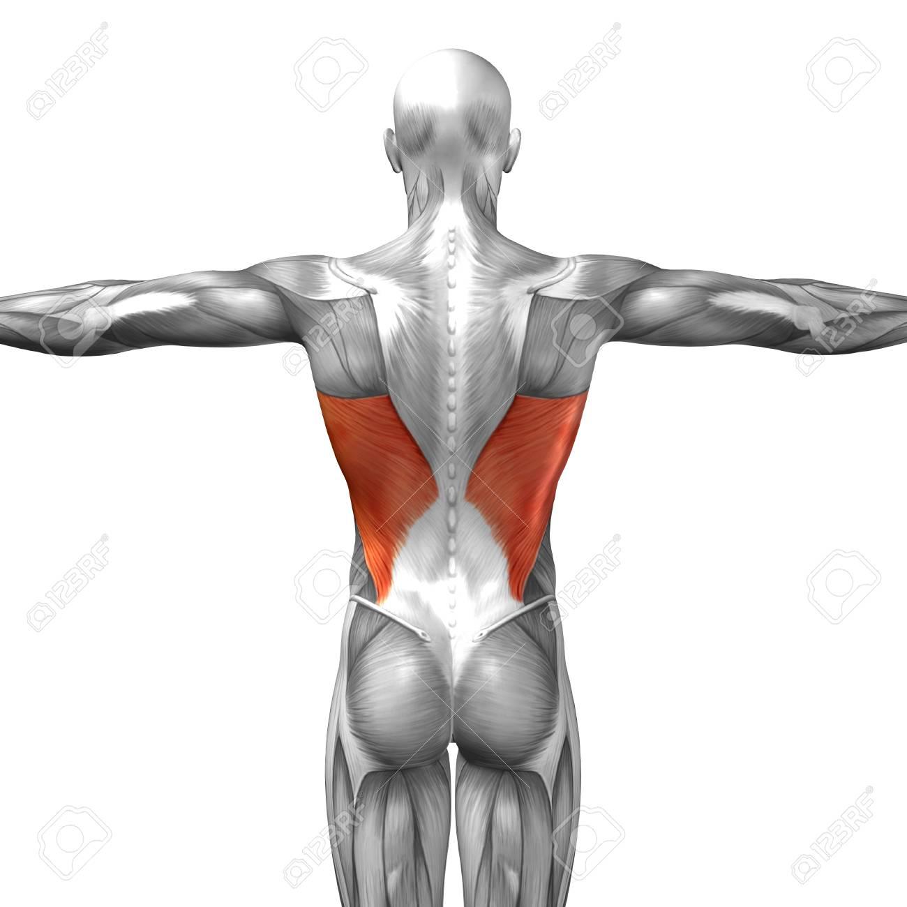 Perfecto Espalda Anatomía Fotos Colección - Imágenes de Anatomía ...