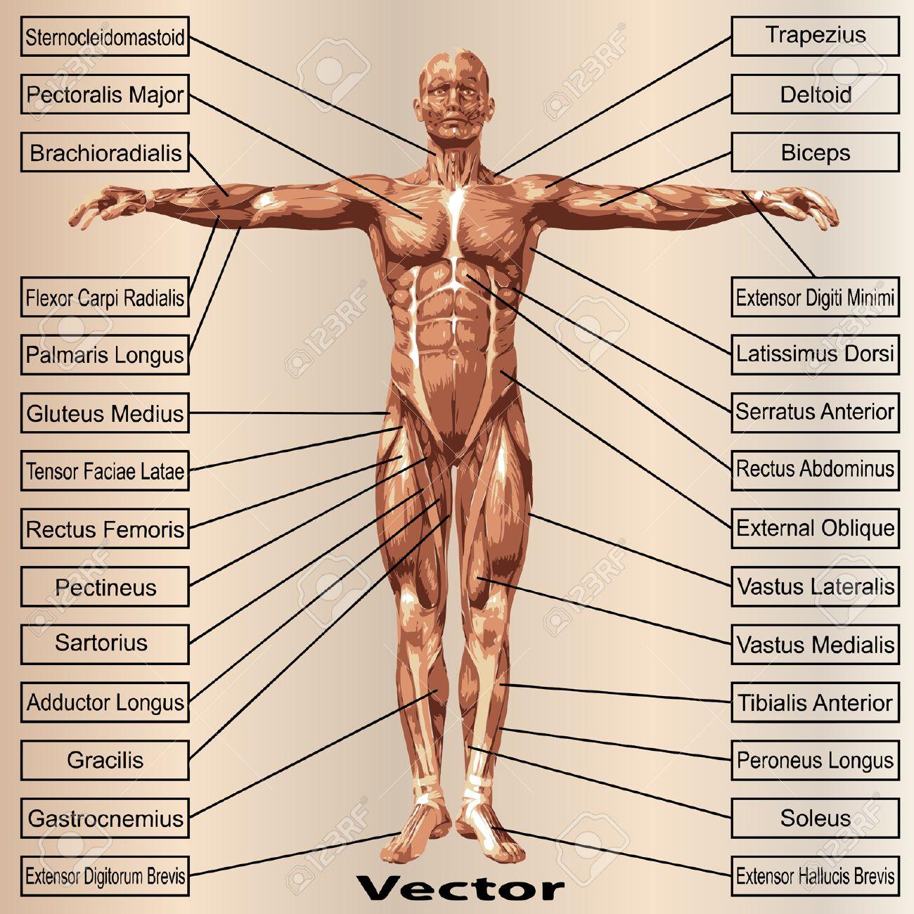 Tolle Kapitel 10 Anatomie Der Muskulatur Galerie - Menschliche ...