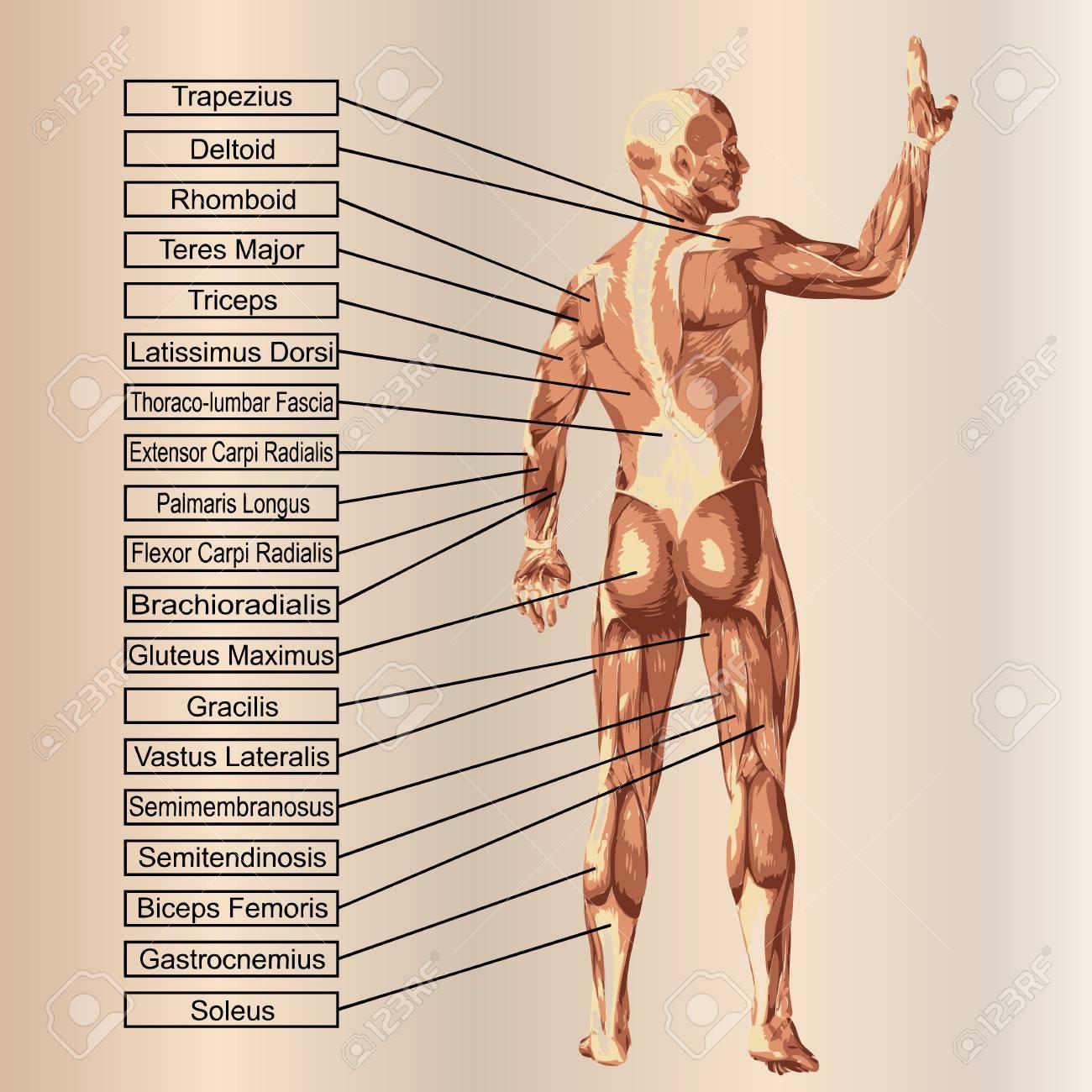 Wunderbar Muskelanatomie 3d Fotos - Menschliche Anatomie Bilder ...