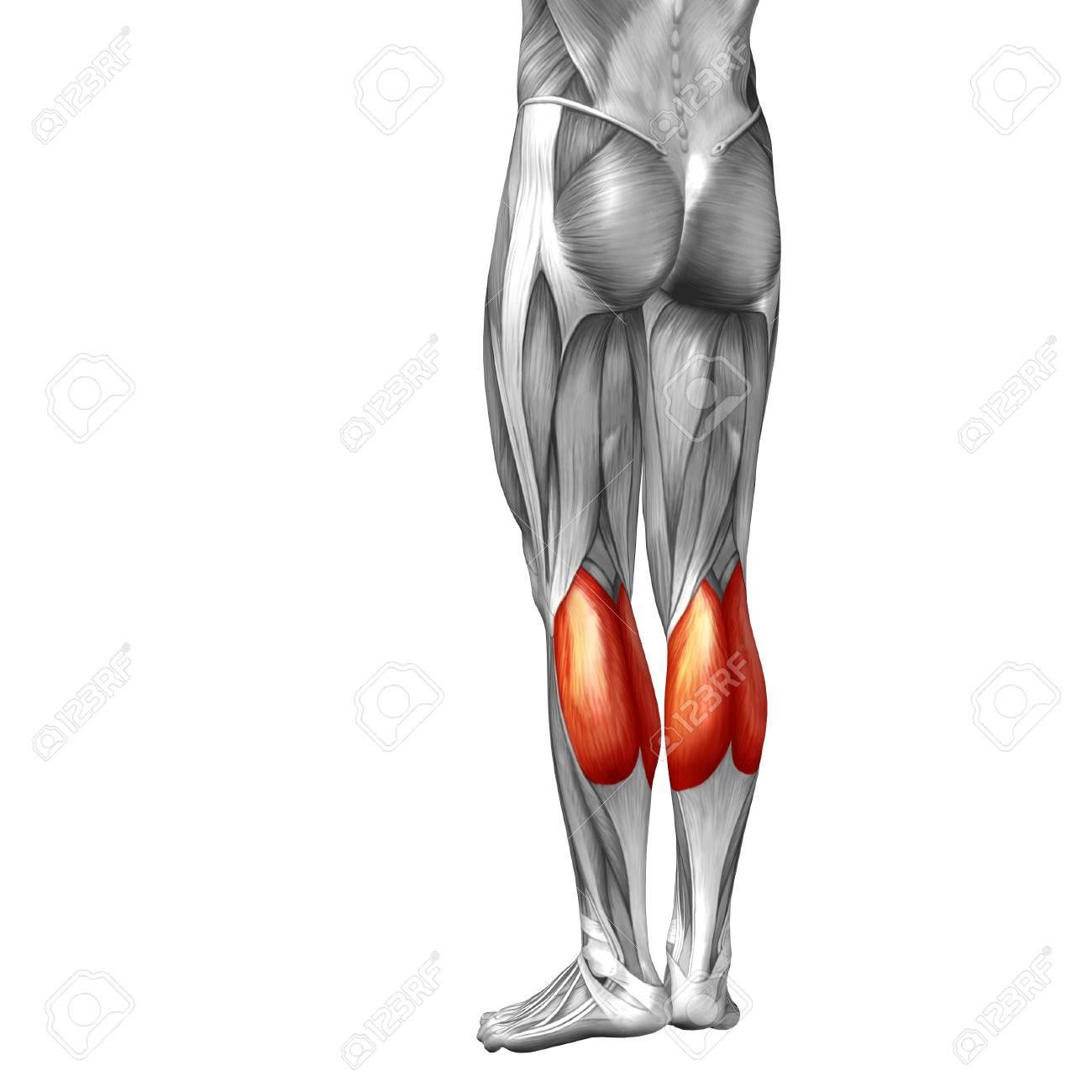 Encantador Polainas Anatomía Muscular Imagen - Anatomía de Las ...
