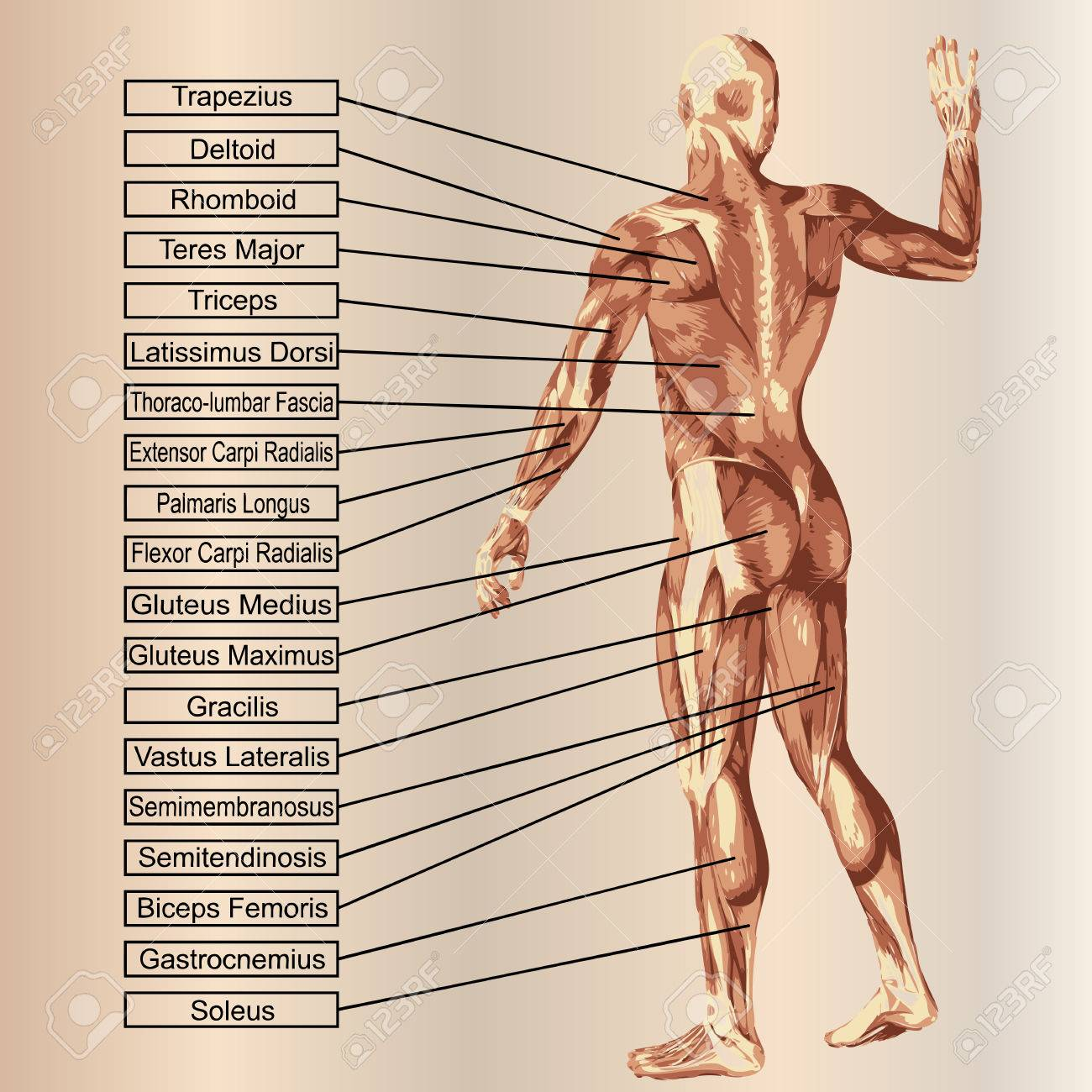 3D Human Male Anatomy With Muscles And Text On Beige Background ...