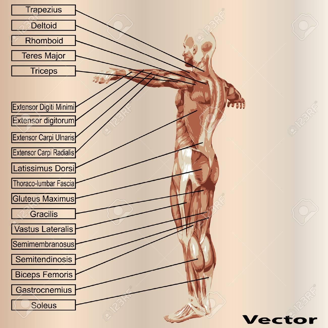 Concepto O Conceptual Anatomía Humana En 3D Y El Músculo Texto Sobre ...