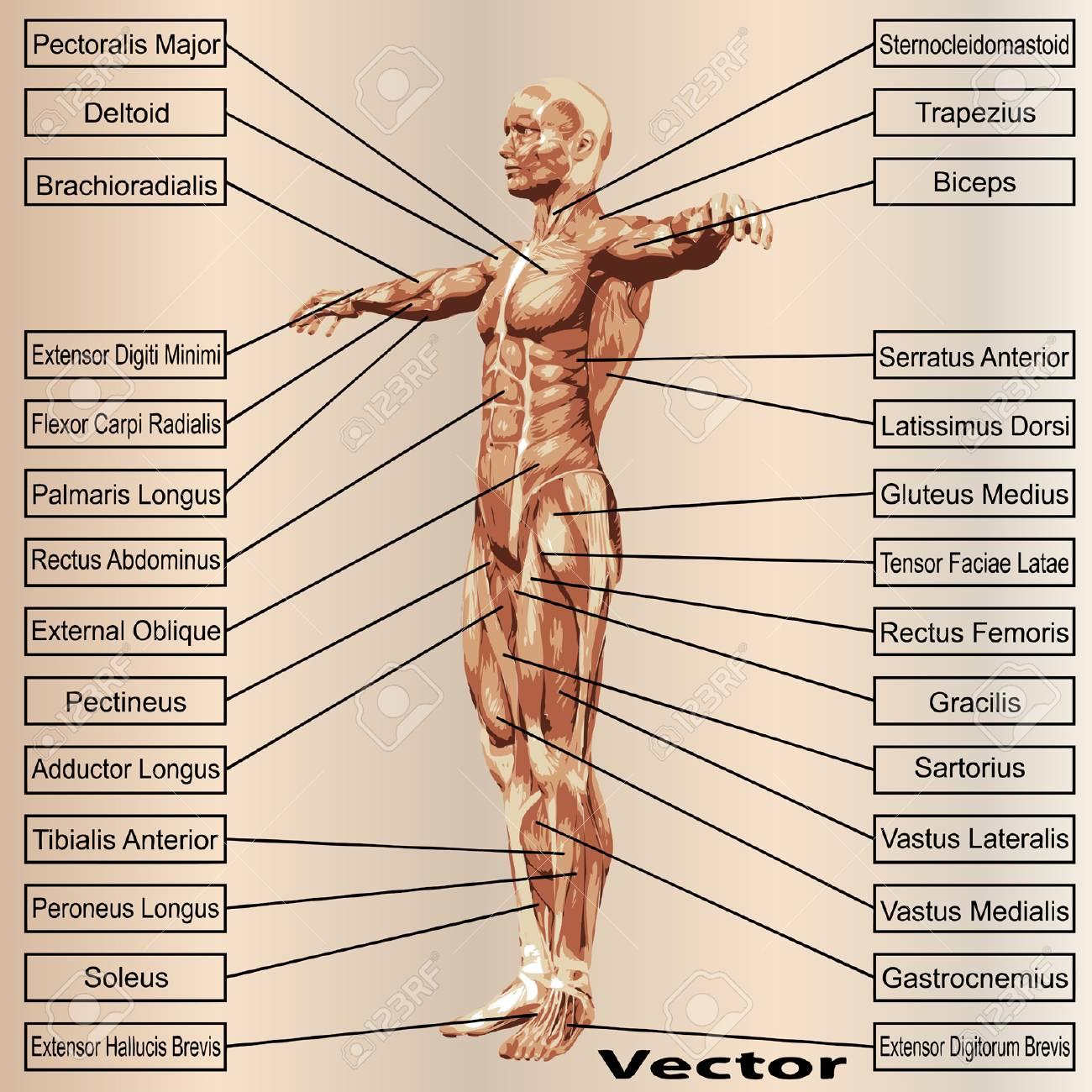 Dorable Grets Fundido Anatomía Cresta - Imágenes de Anatomía Humana ...