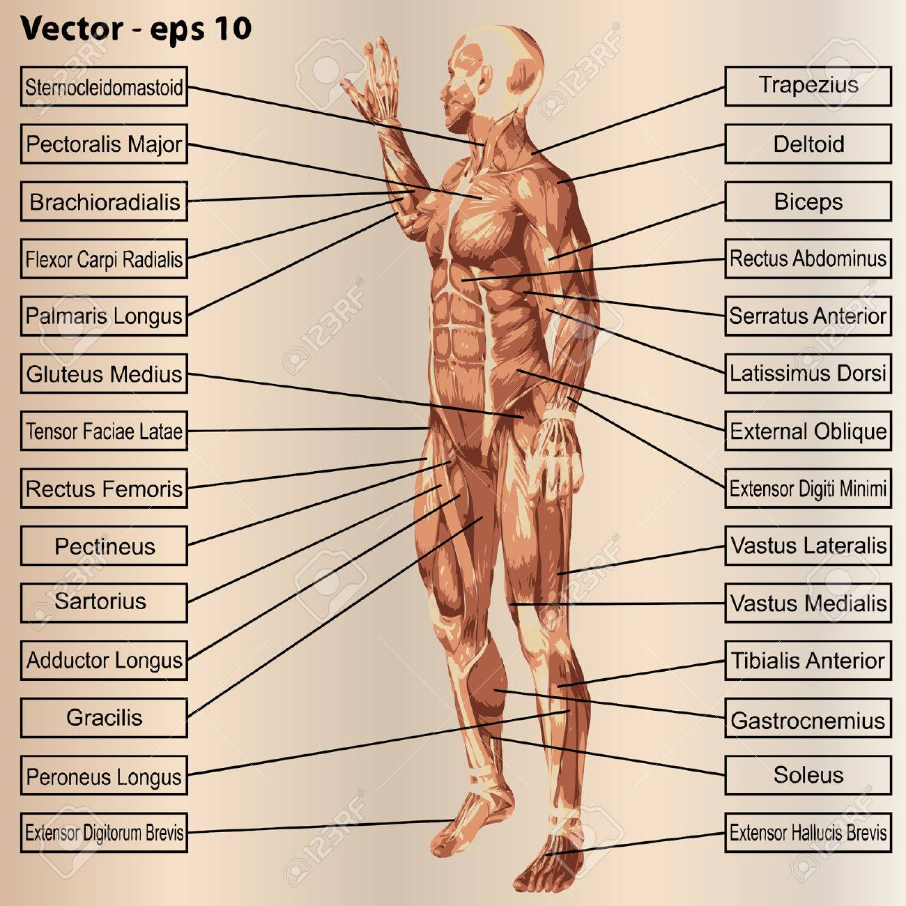 3D Menschlichen Männlichen Anatomie Mit Muskeln Und Text Auf Beige ...