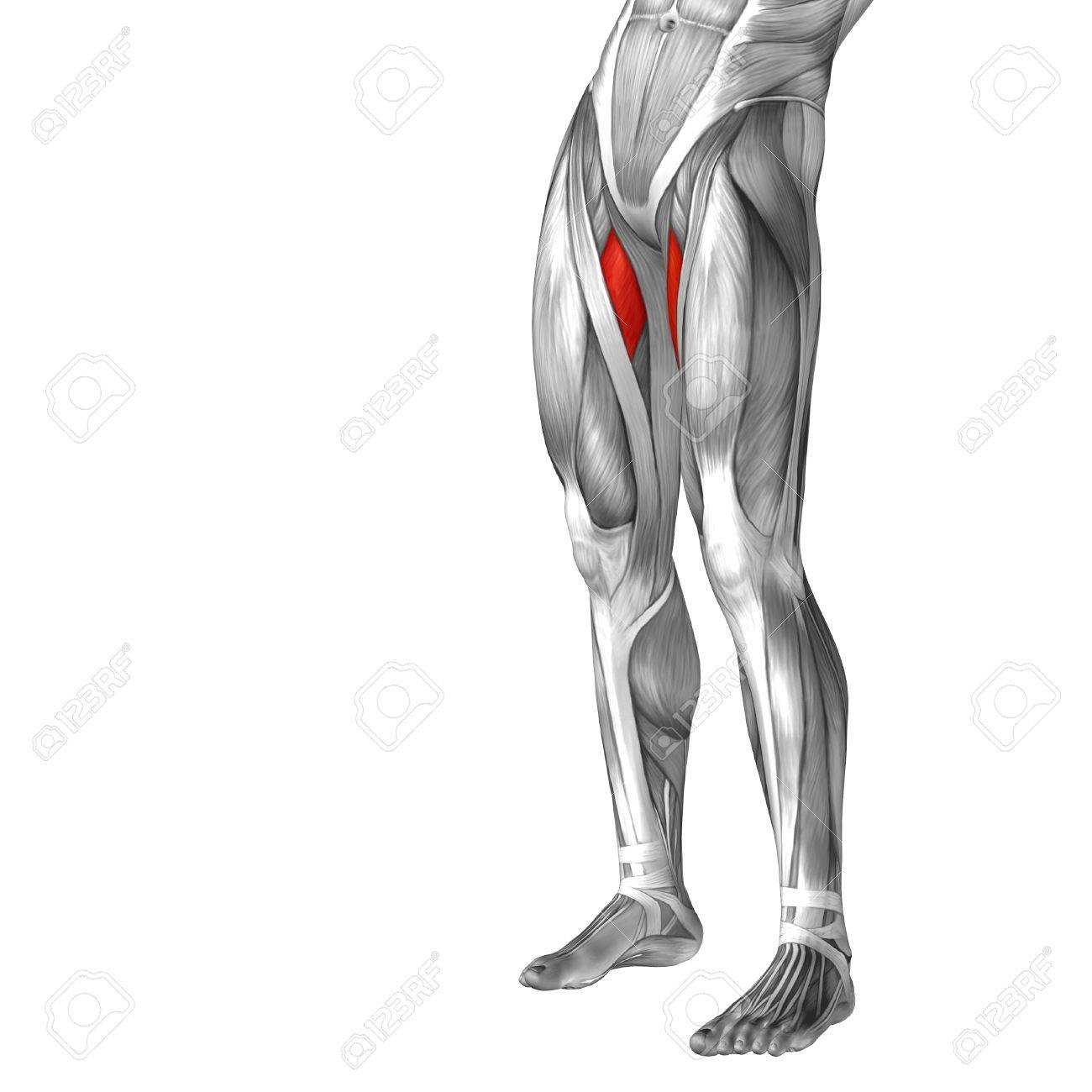 Conceptual 3D Human Front Upper Leg Muscle Anatomy Isolated On ...