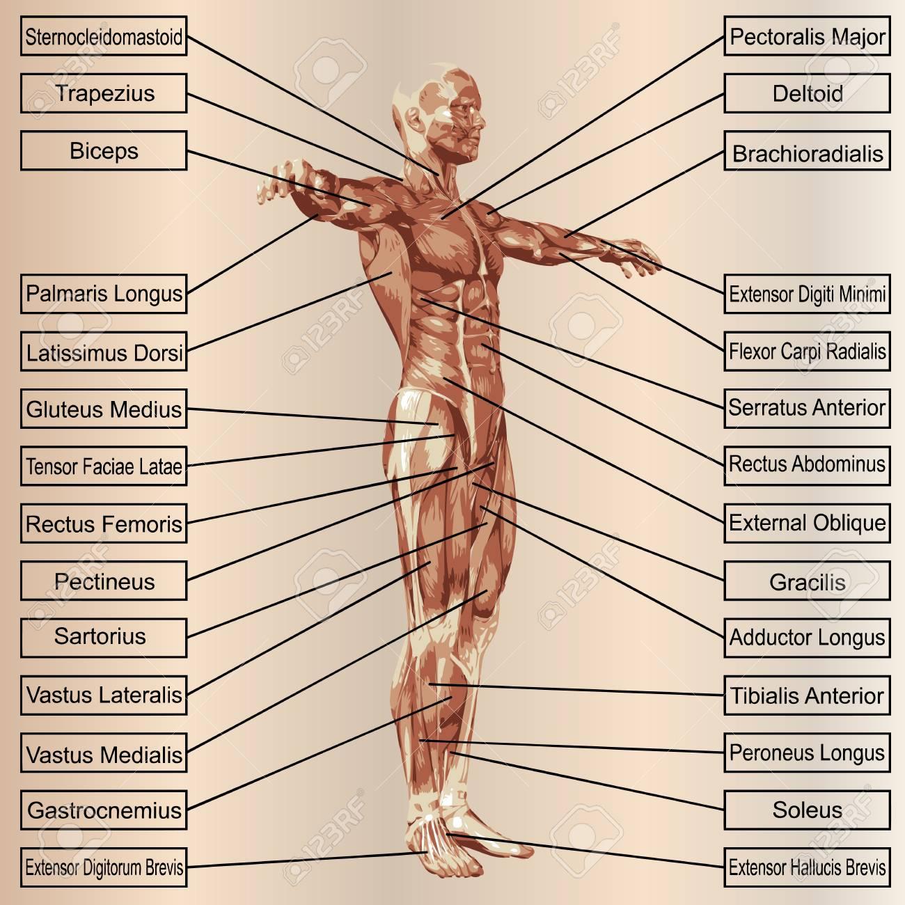 Beste 3d Menschlicher Anatomie Atlas Ideen - Anatomie Ideen ...
