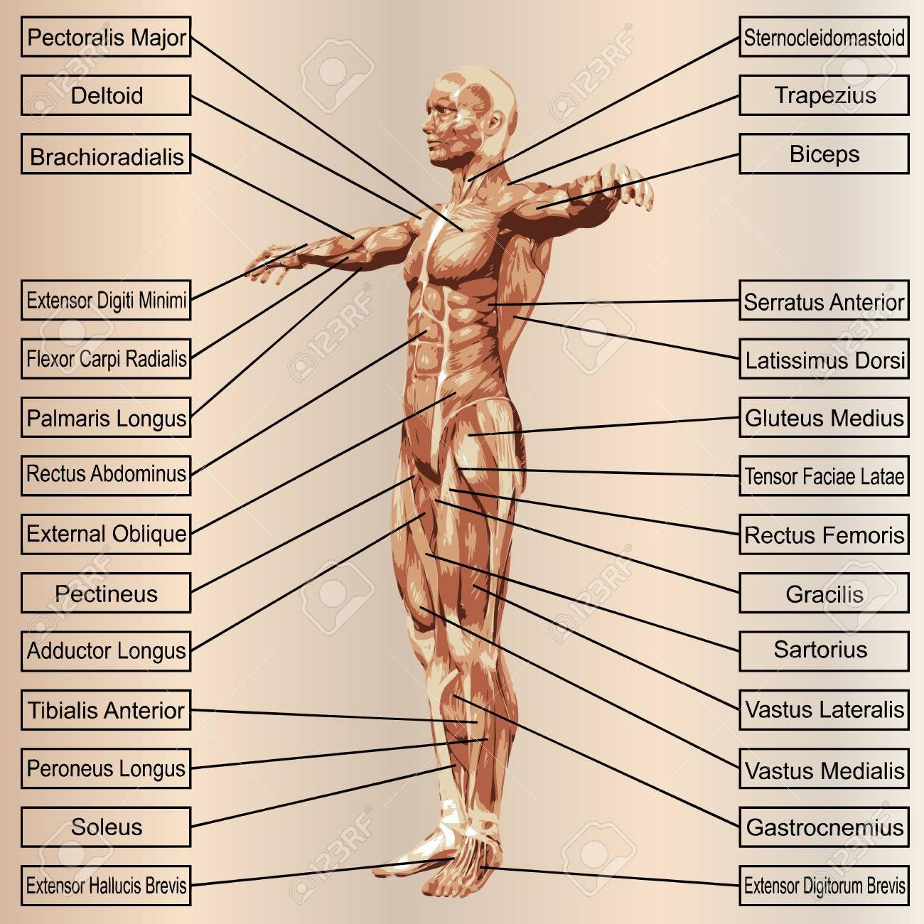 Magnífico Adam Anatomía Interactiva En Línea Motivo - Anatomía de ...