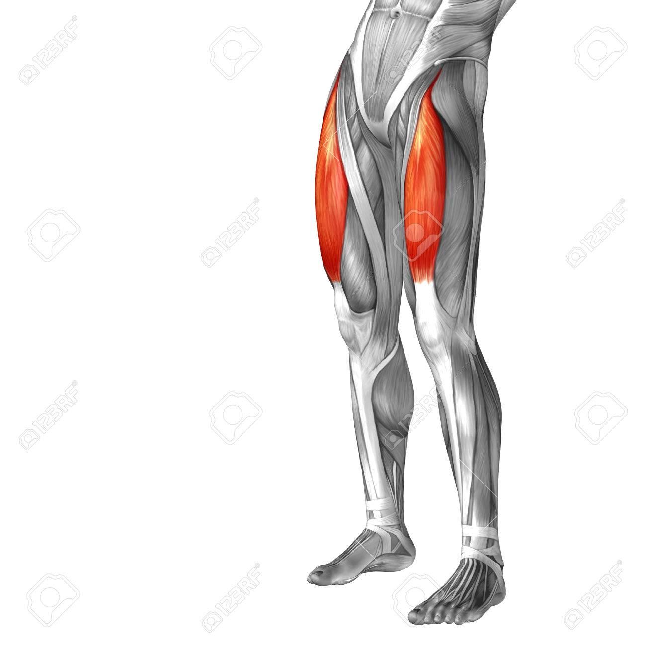 Anatomía Muscular Conceptual 3D Frontal Humana Pierna Superior ...