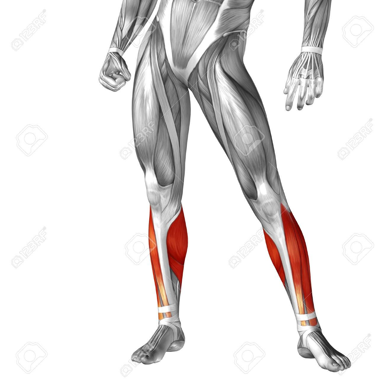 Unique Lower Body Muscle Anatomy Ideas - Human Anatomy Images ...