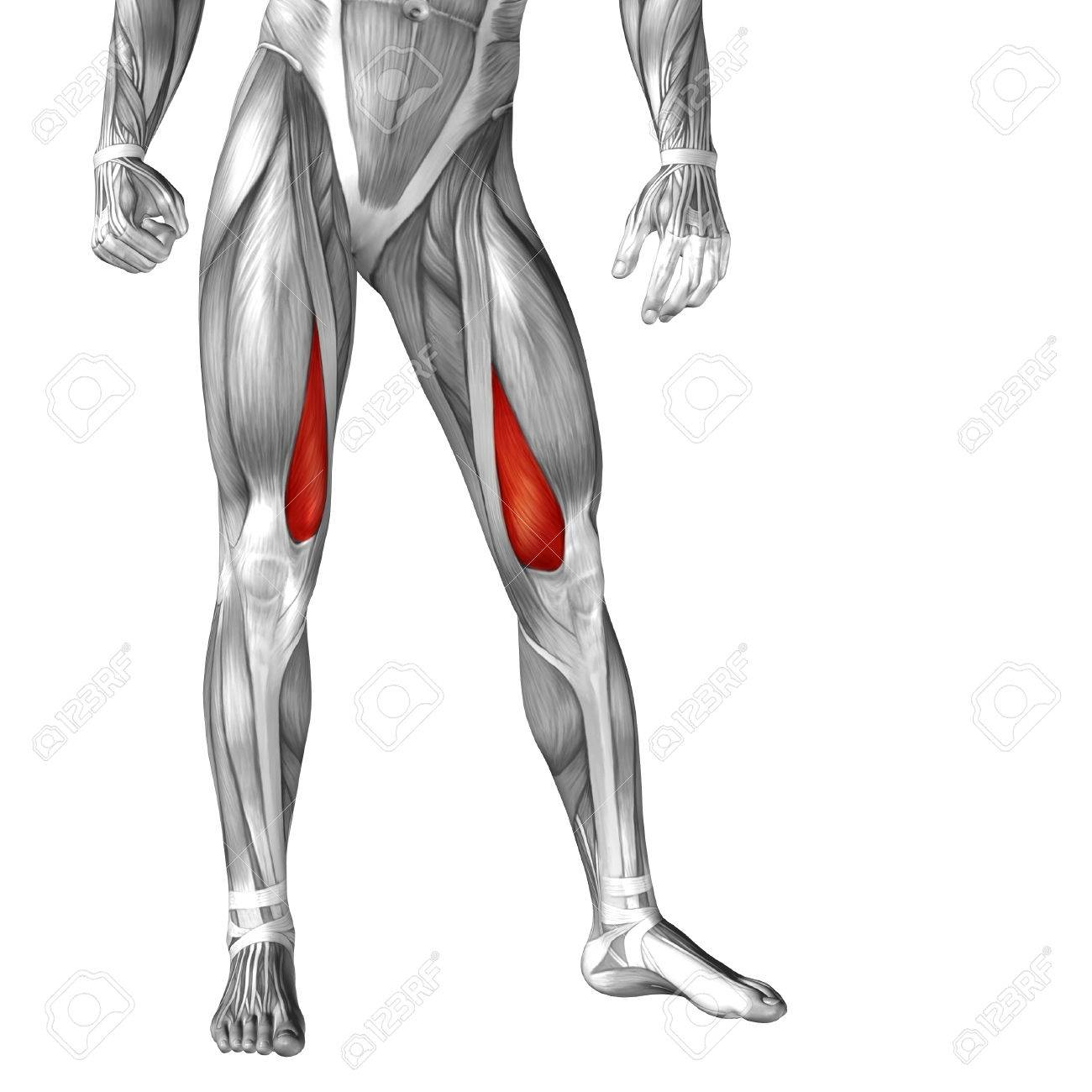 Upper Leg Muscles Anatomy Images - human body anatomy