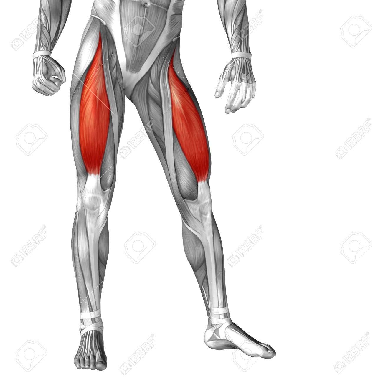 Anatomía Muscular Conceptual 3D Frontal Humano Pierna Superior ...