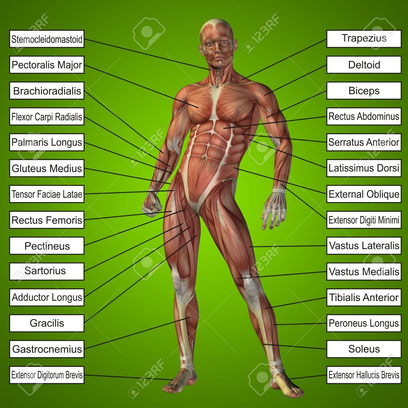Gemütlich Die Muskulatur Anatomie Und Physiologie Bilder ...
