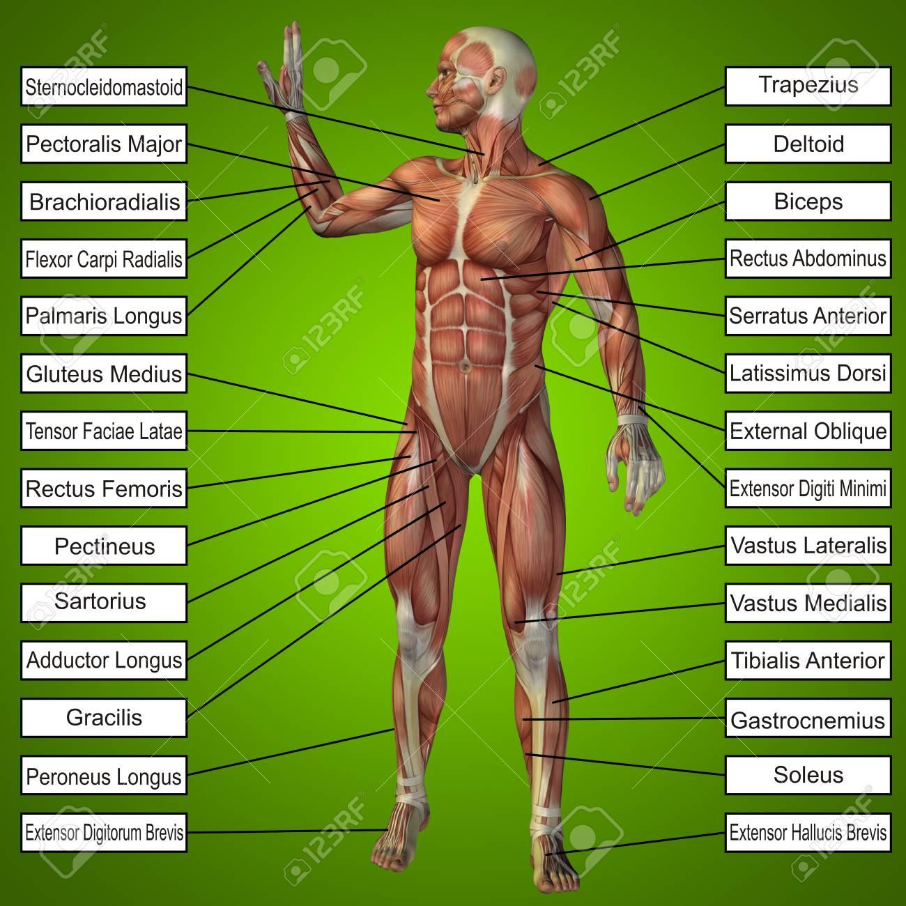 Menschliche Anatomie Des Menschen 3D Mit Muskeln Und Text Auf Grünem ...