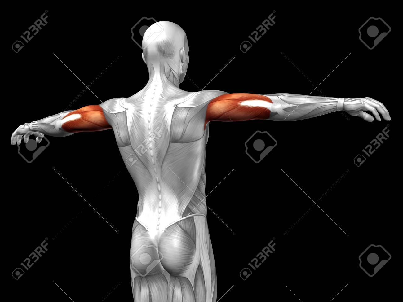 Conceptual 3D Muscular Del Tríceps Anatomía Aislado En El Fondo ...