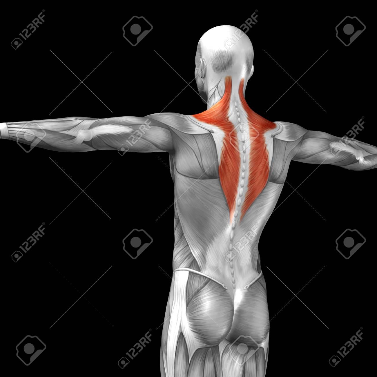 Conceptual 3D-Anatomie Zurück Muskeln Auf Schwarzem Hintergrund ...