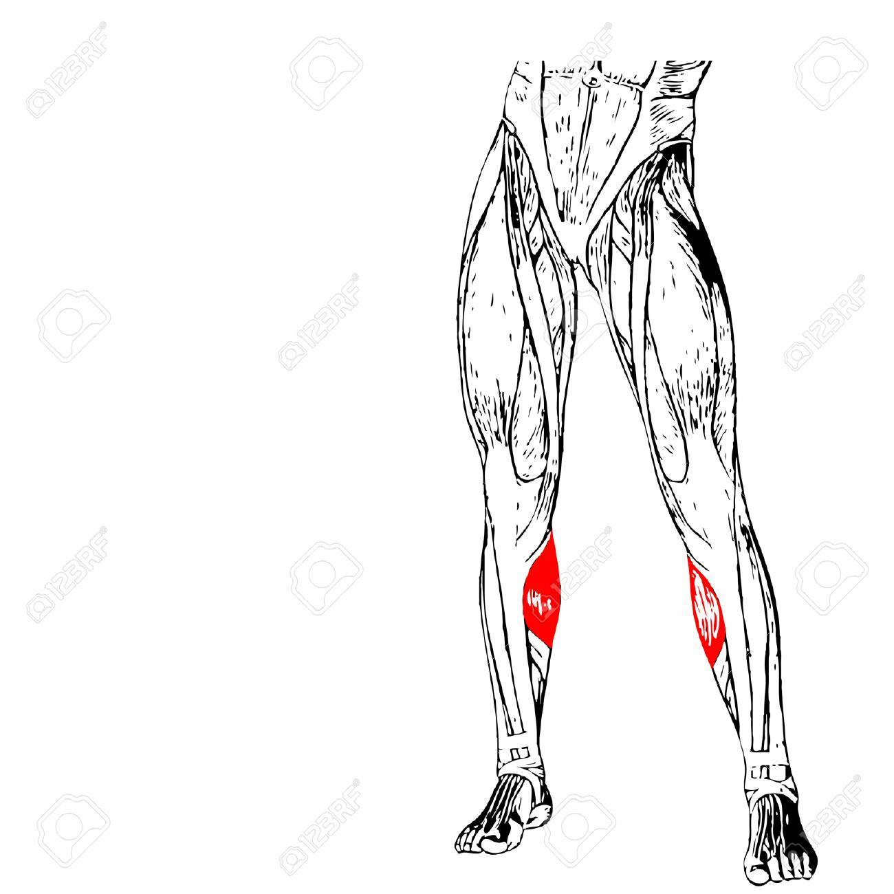 Concept 3d Human Lower Leg Anatomy Or Anatomical And Muscle Isolated