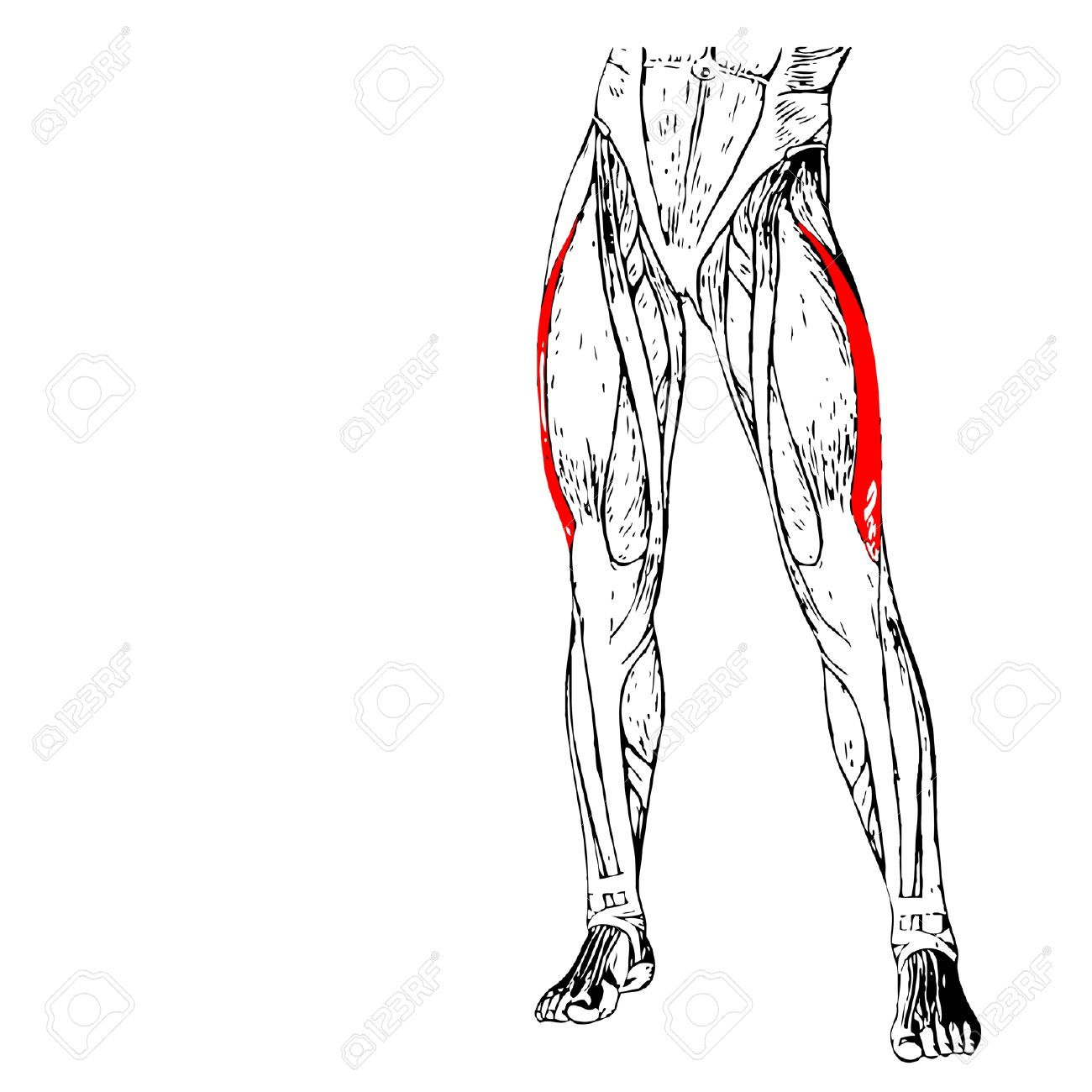 Aductor Largo Concepto 3D Anatomía Muslo Humano O Muscular Anatómica ...