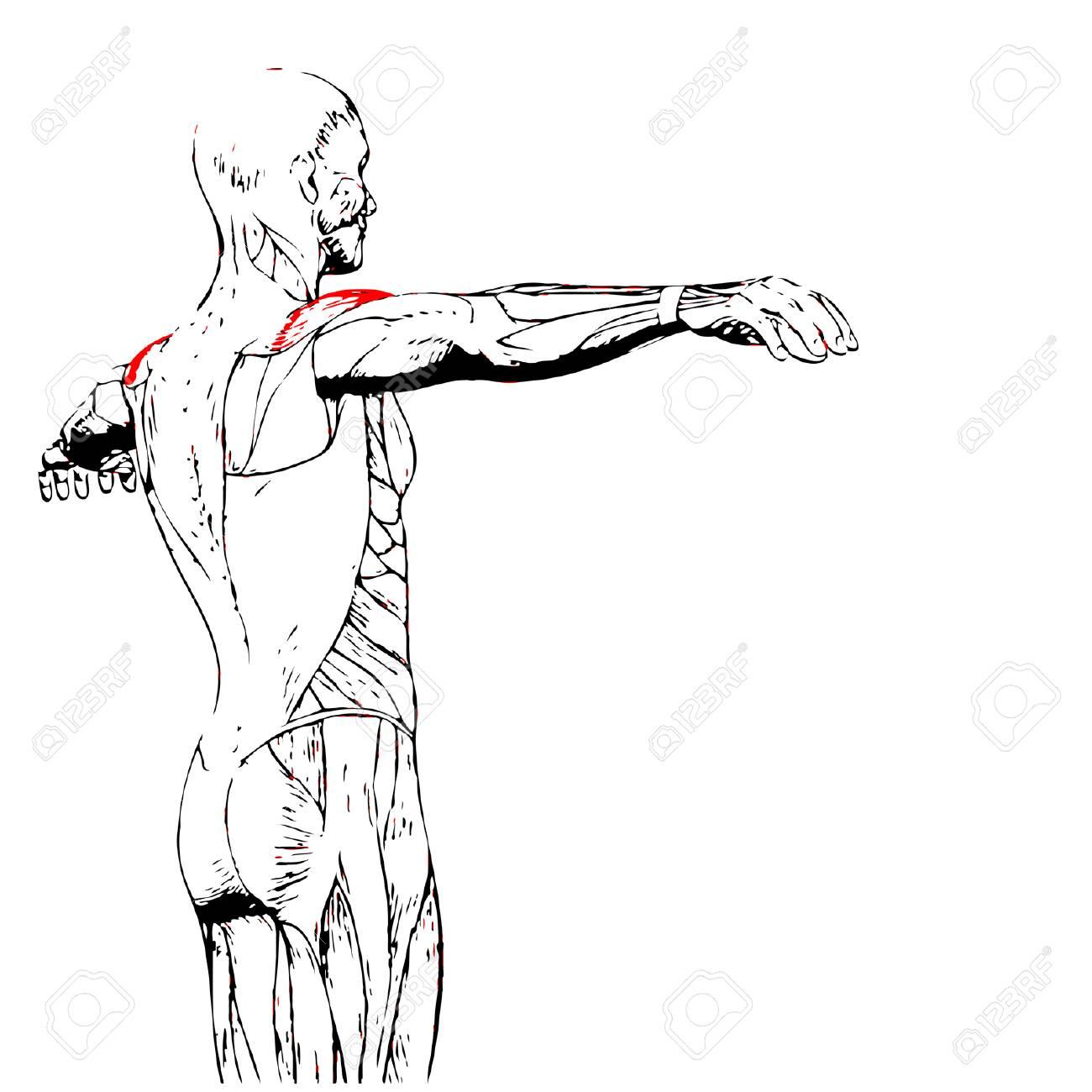 Concepto 3D Conceptual Anatomía Back Humano O Muscular Anatómica ...