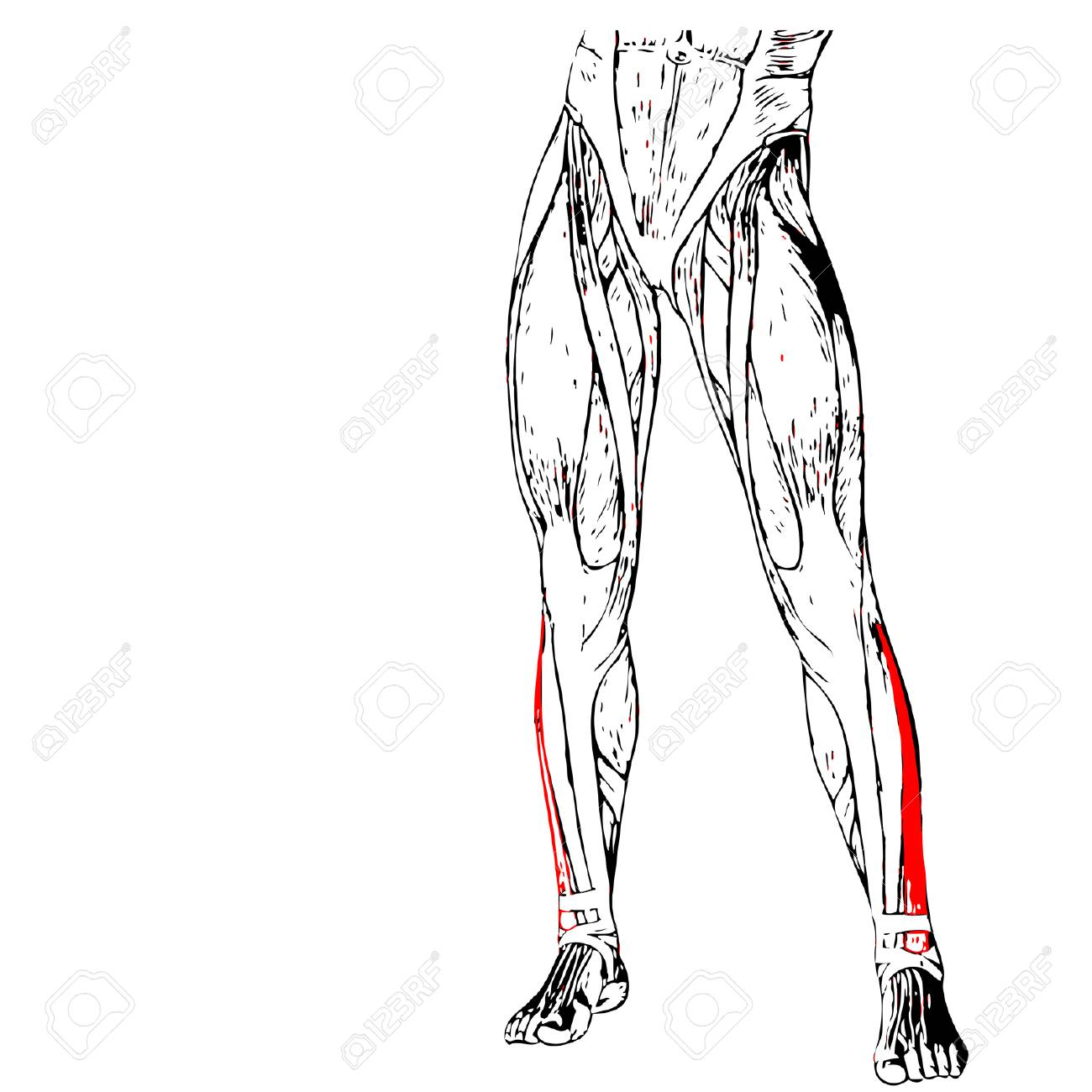 Concept Or Conceptual 3d Human Lower Leg Anatomy Or Anatomical