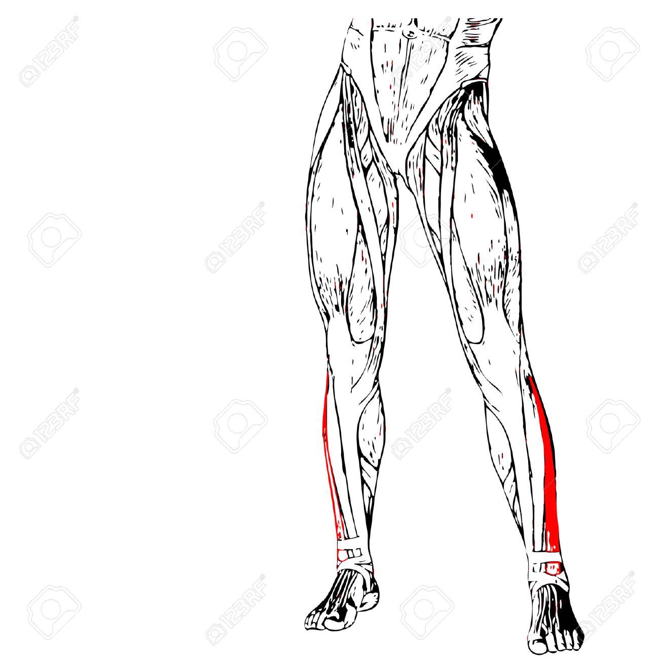 Lujo Músculos En El Gráfico De Las Piernas Anatomía Festooning ...