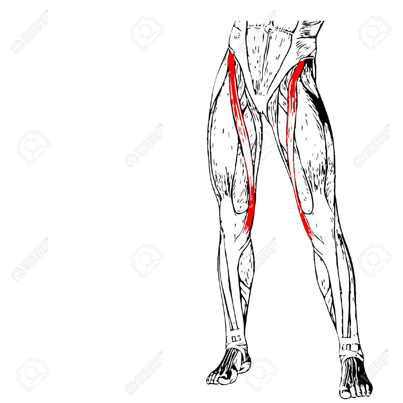 Concept Conceptual 3d Adductor Longus Human Upper Leg Anatomy