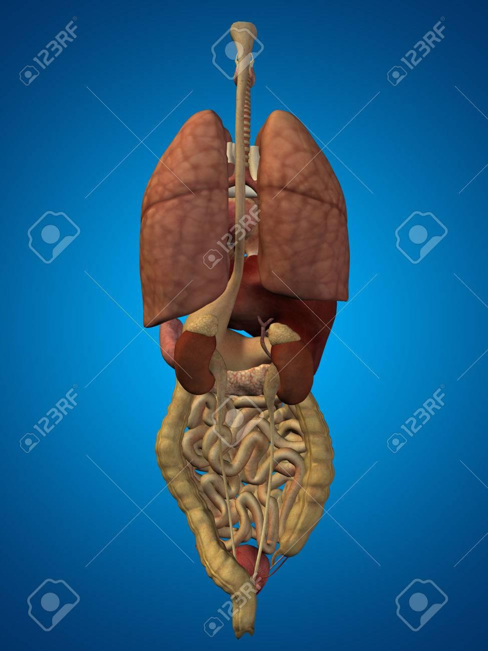 3d Human Or Man Internal Abdominal Or Thorax Organs For Anatomy