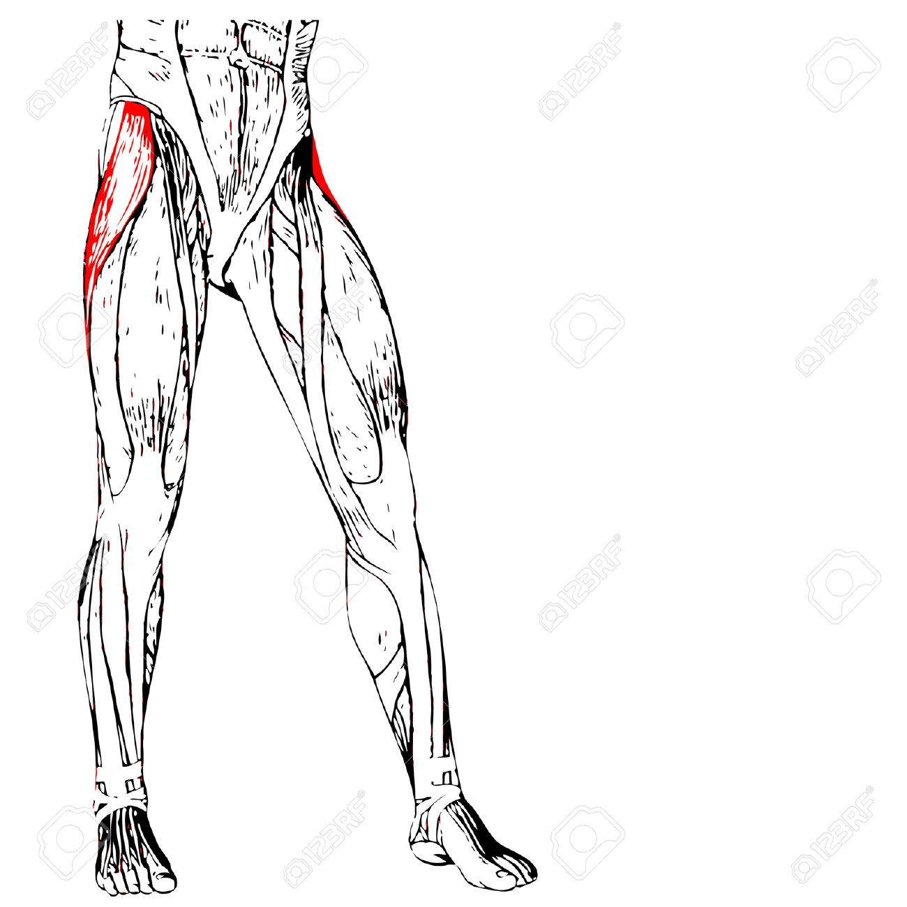 Concept 3D Adductor Longus Human Upper Leg Anatomy Or Anatomical ...