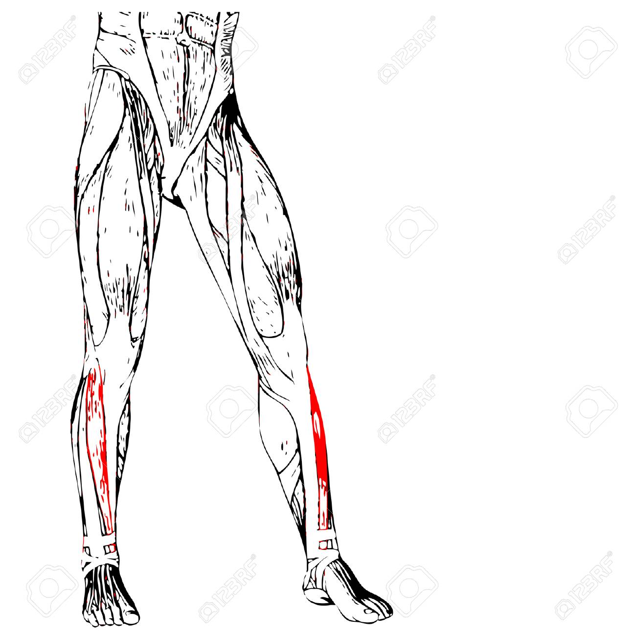 Concept Or Conceptual 3D Human Lower Leg Anatomy Or Anatomical ...