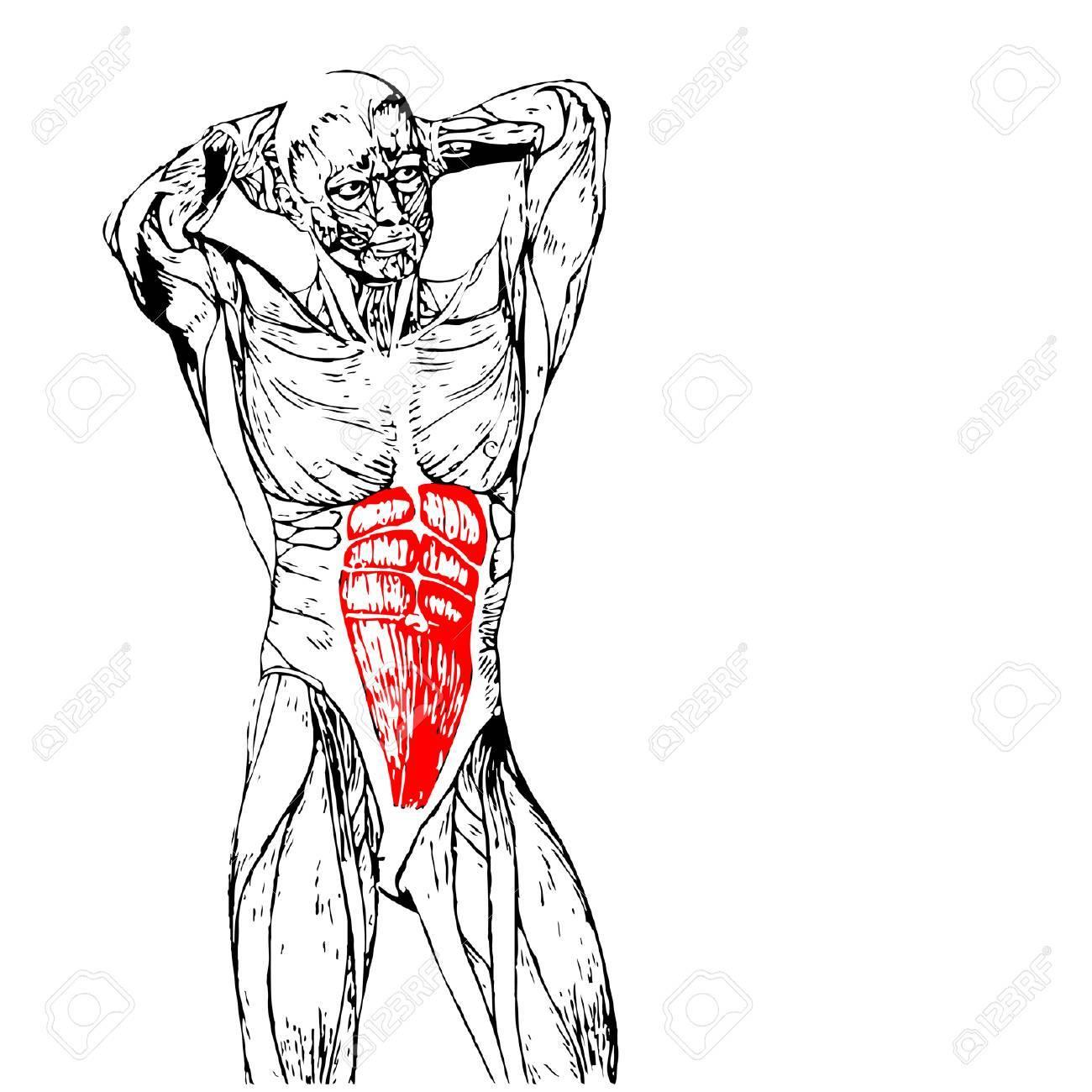 Concepto O Conceptual Pecho 3D Anatomía Humana O Anatómica Y Músculo ...