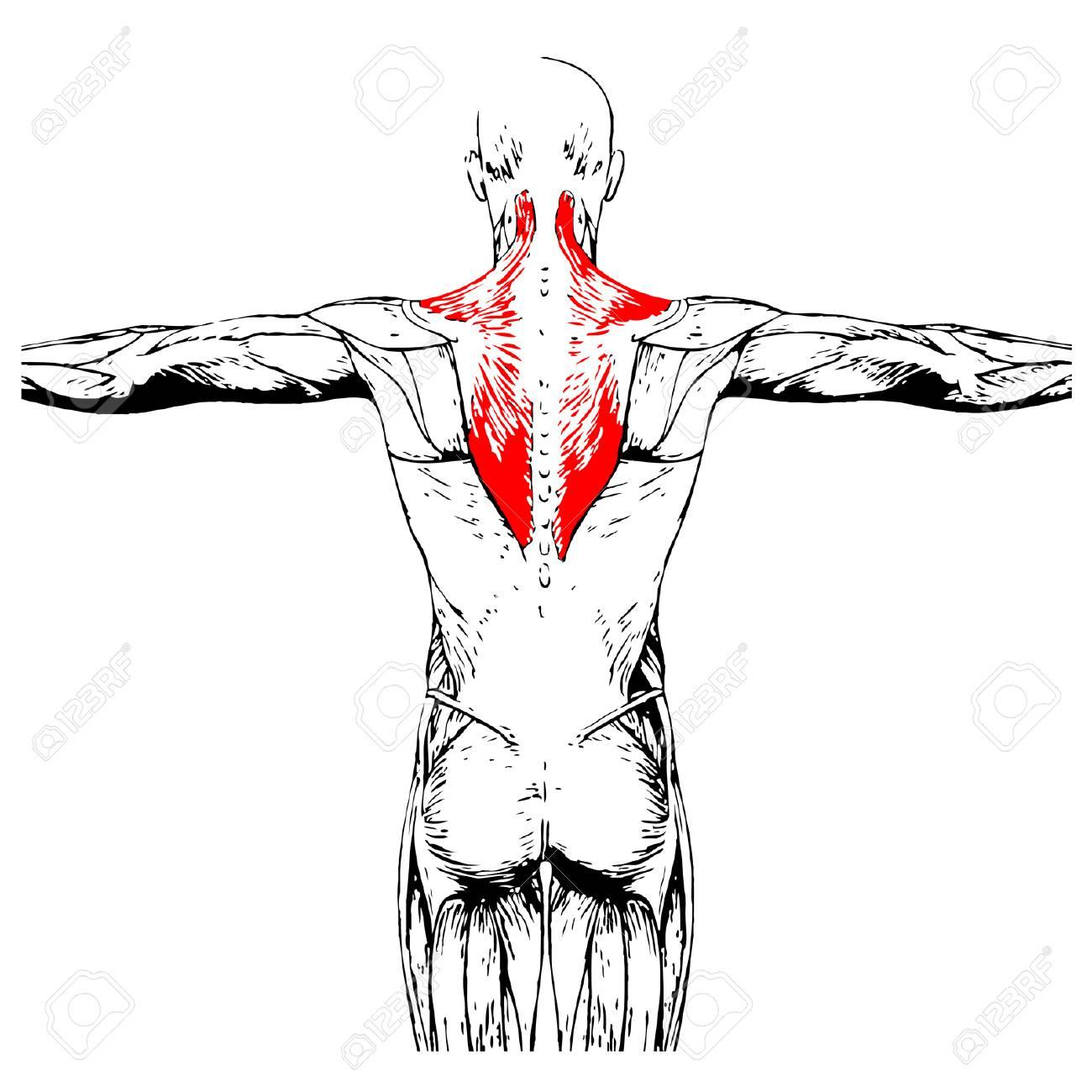 Moderno Músculos Bajos Anatomía Back Regalo - Imágenes de Anatomía ...