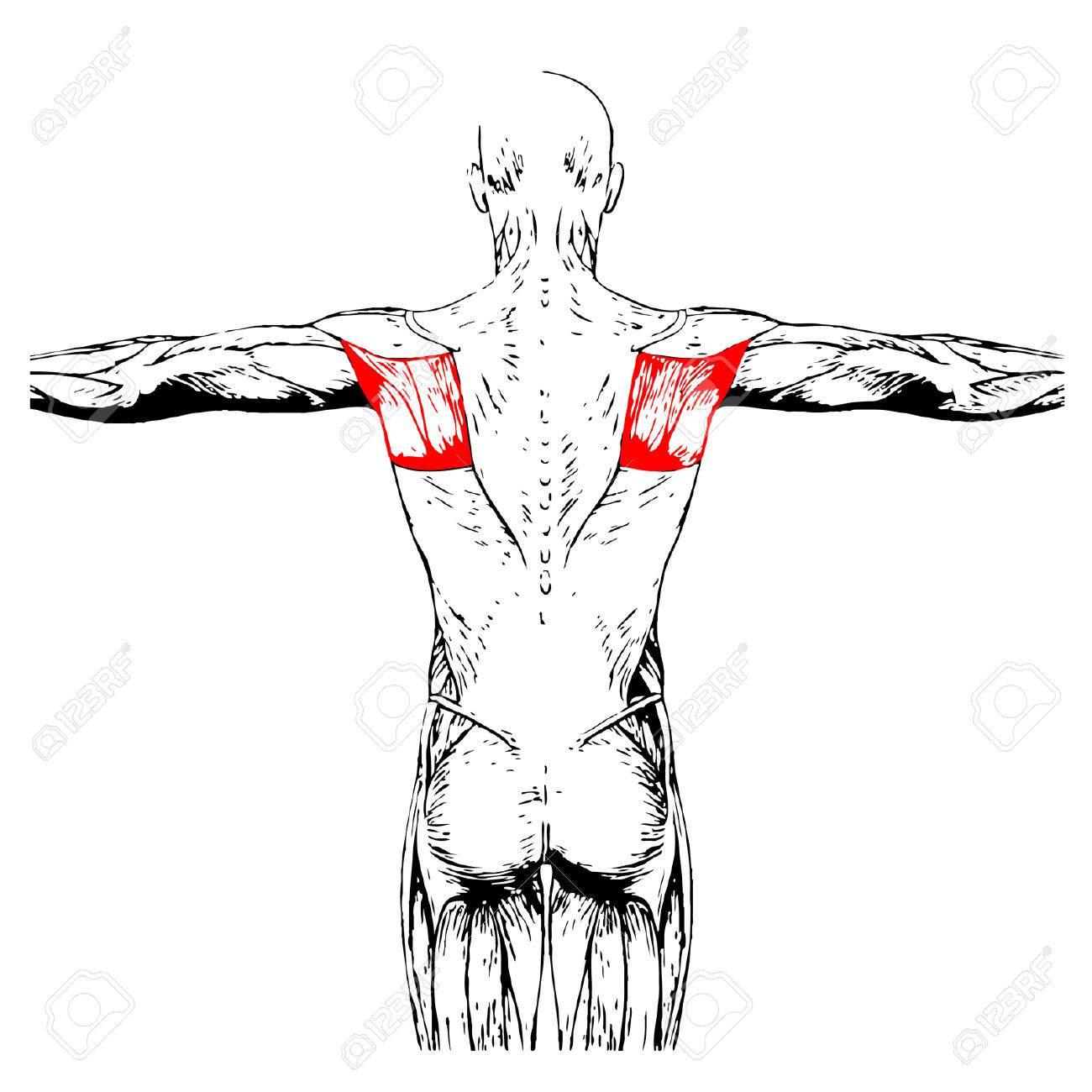 Fantastisch Kalb Anatomie Muskeln Ideen - Anatomie Ideen - finotti.info
