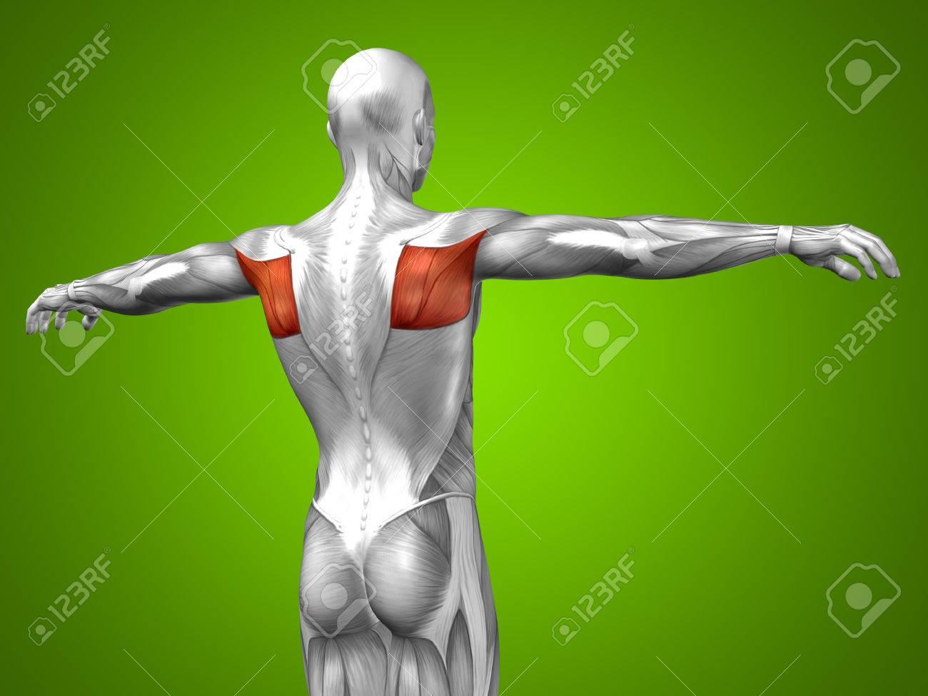 Conceptual 3D-Anatomie Zurück Muskeln Auf Grünem Hintergrund ...