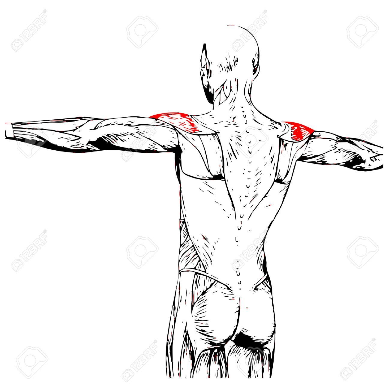 Begrifflich 3D Zurück Menschliche Anatomie Oder Anatomischen Muskel ...